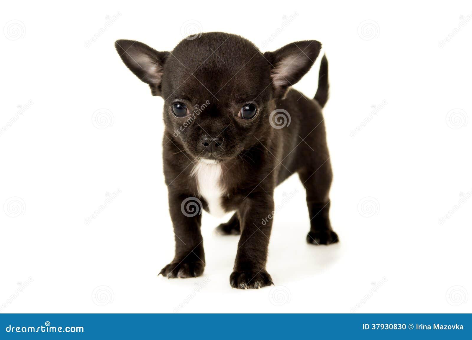 чихуахуа фото черные щенки