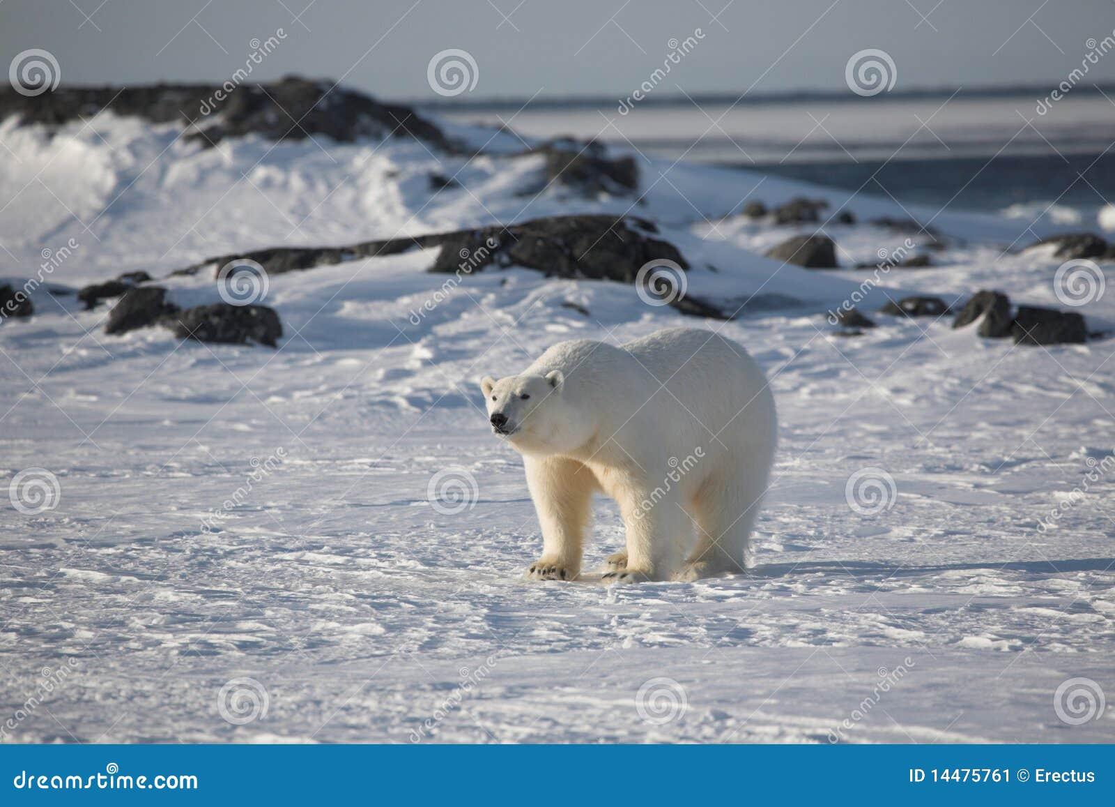 медведь приполюсный