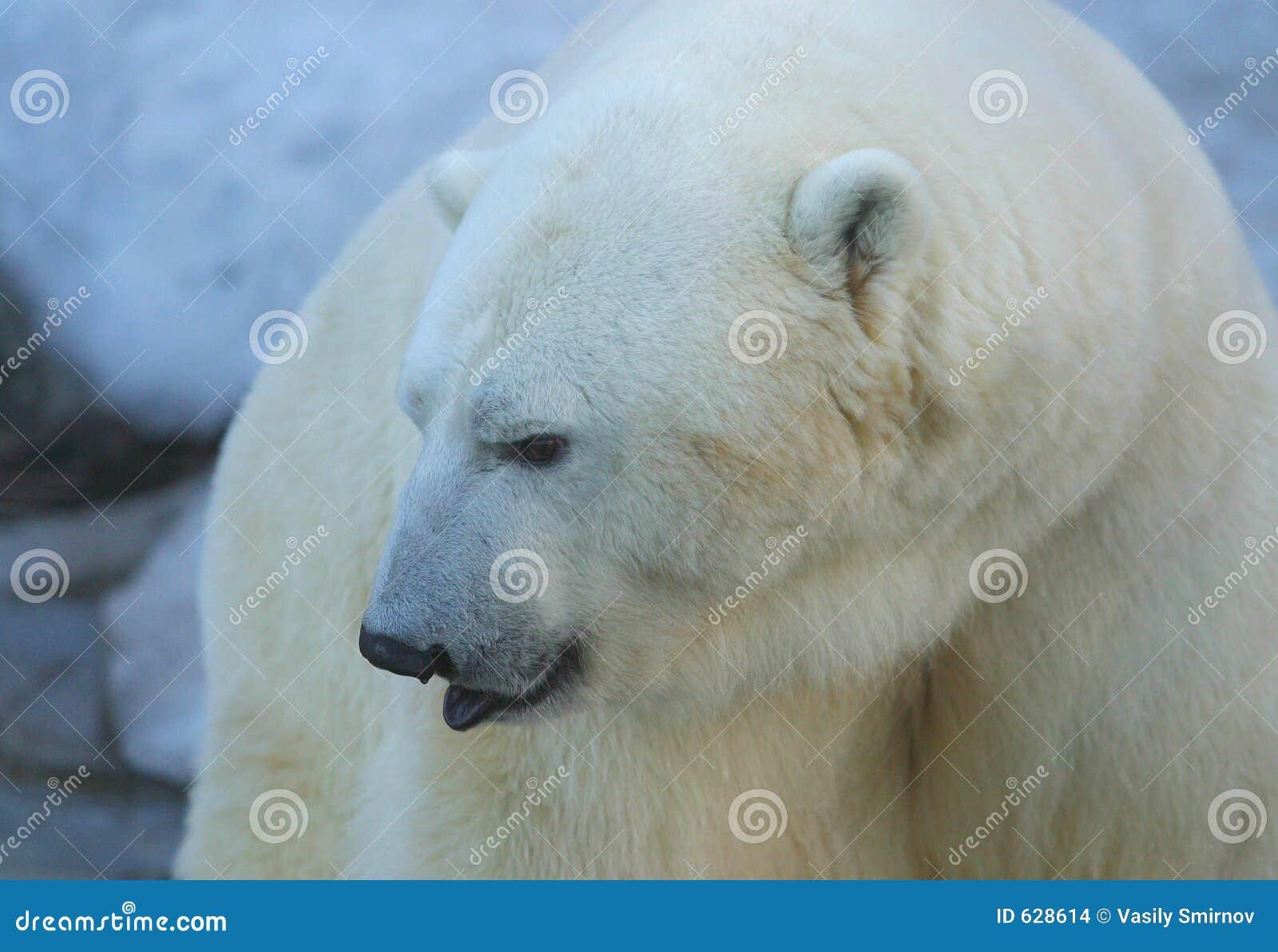 Download медведь приполюсный стоковое фото. изображение насчитывающей рот - 628614