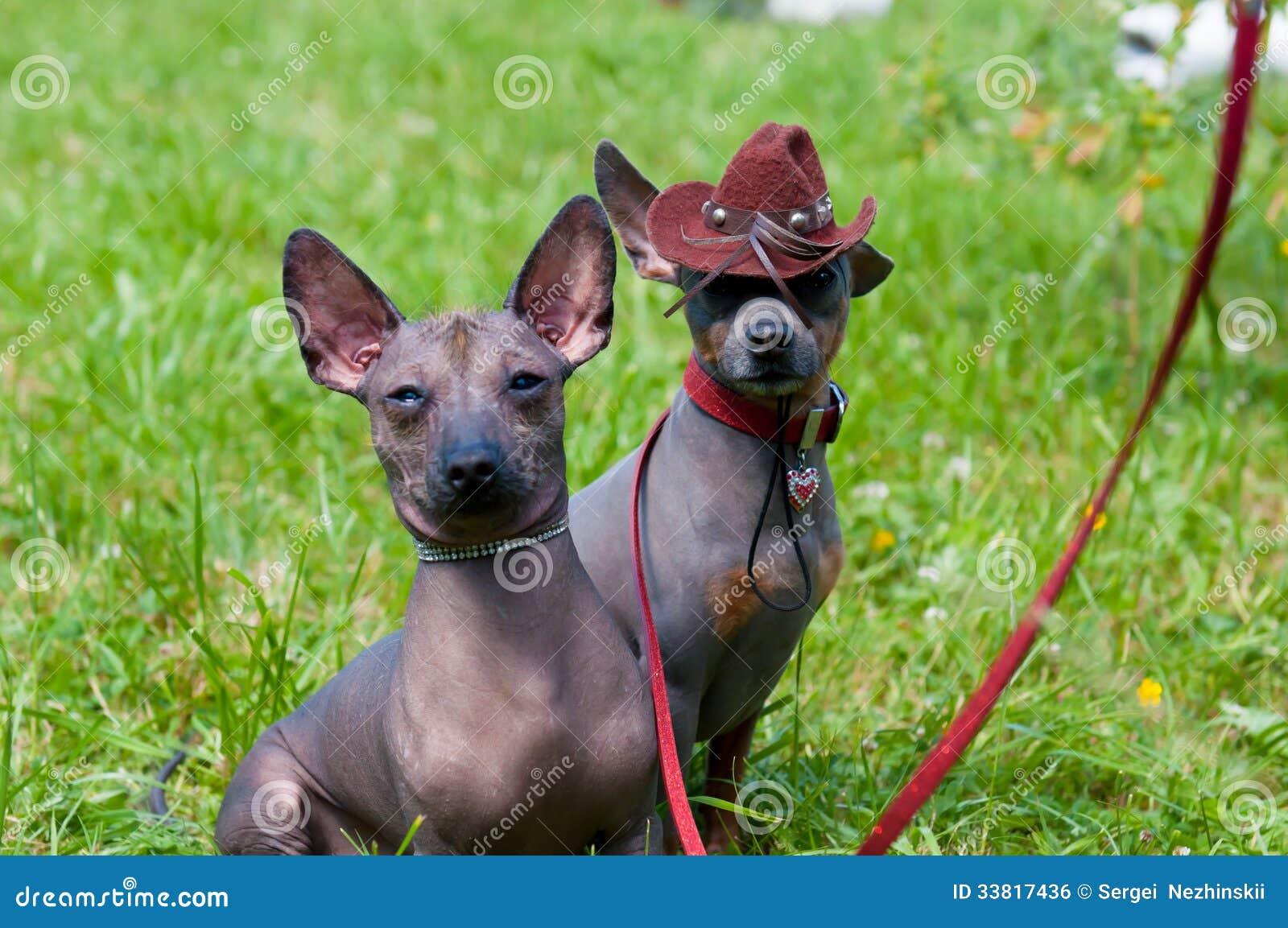 Мексиканская безволосая собака