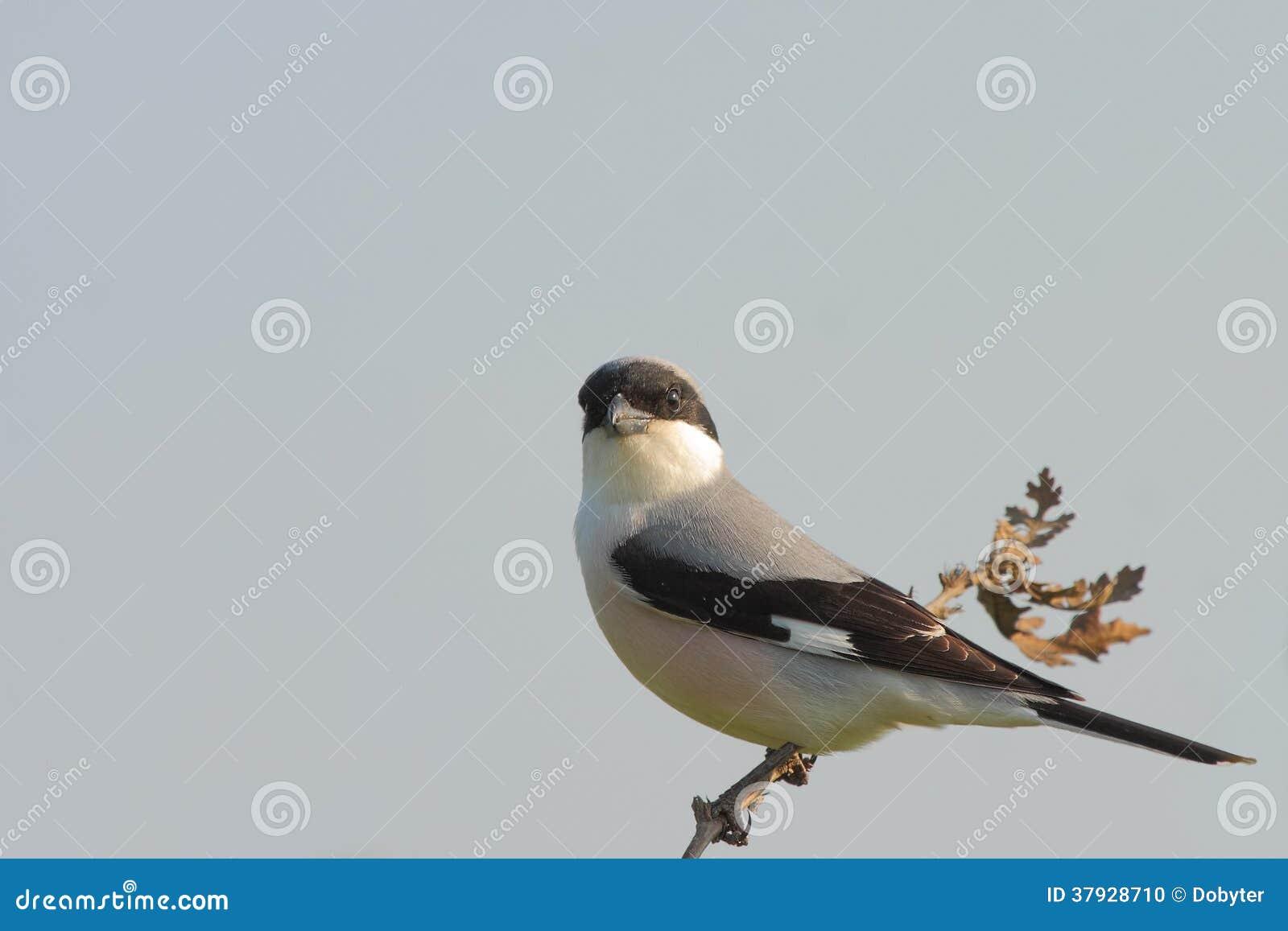 Меньшее серое Shrike (несовершеннолетний Lanius).