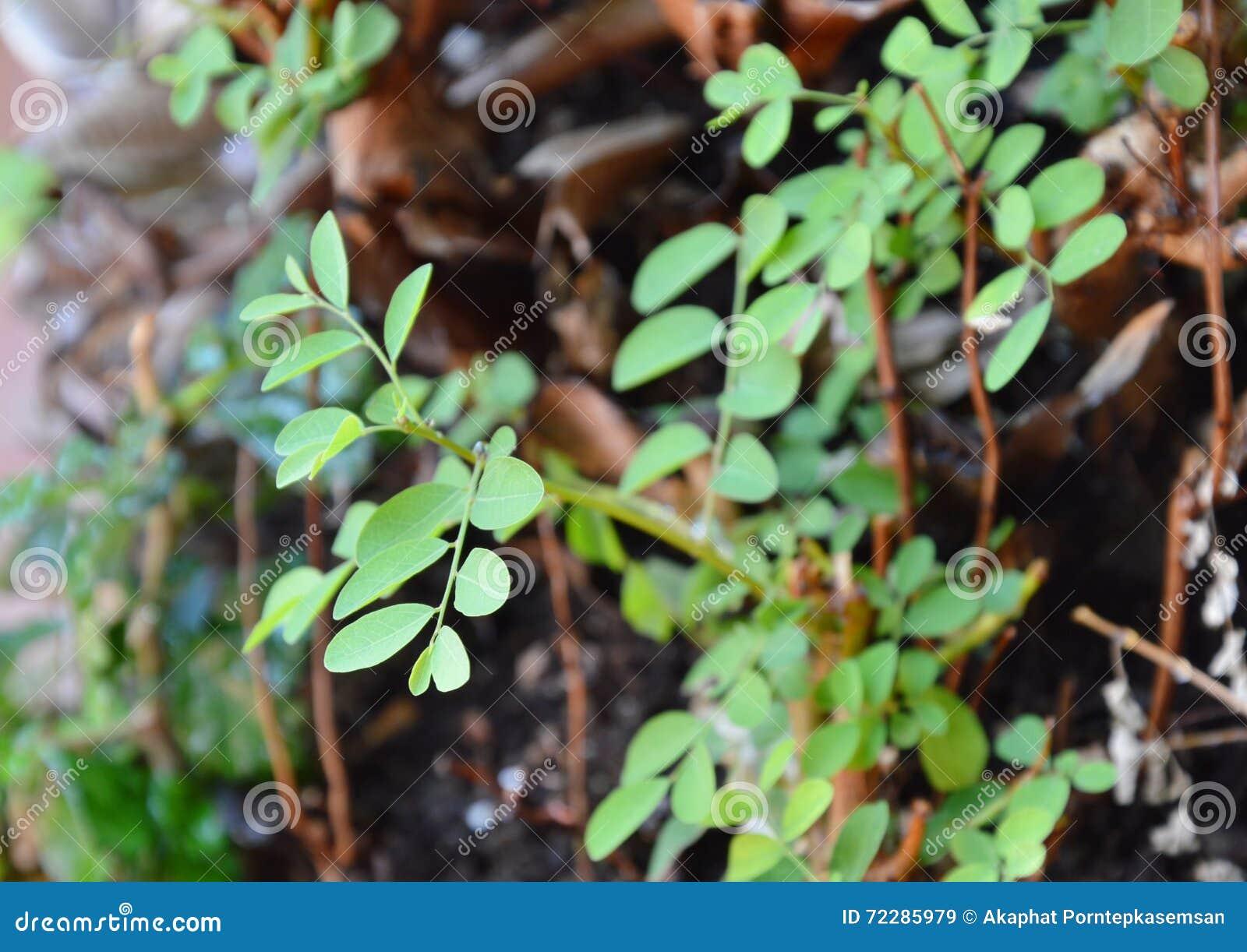 Download Меньший завод засорителя растет в лесе Стоковое Изображение - изображение насчитывающей пыль, вырастите: 72285979