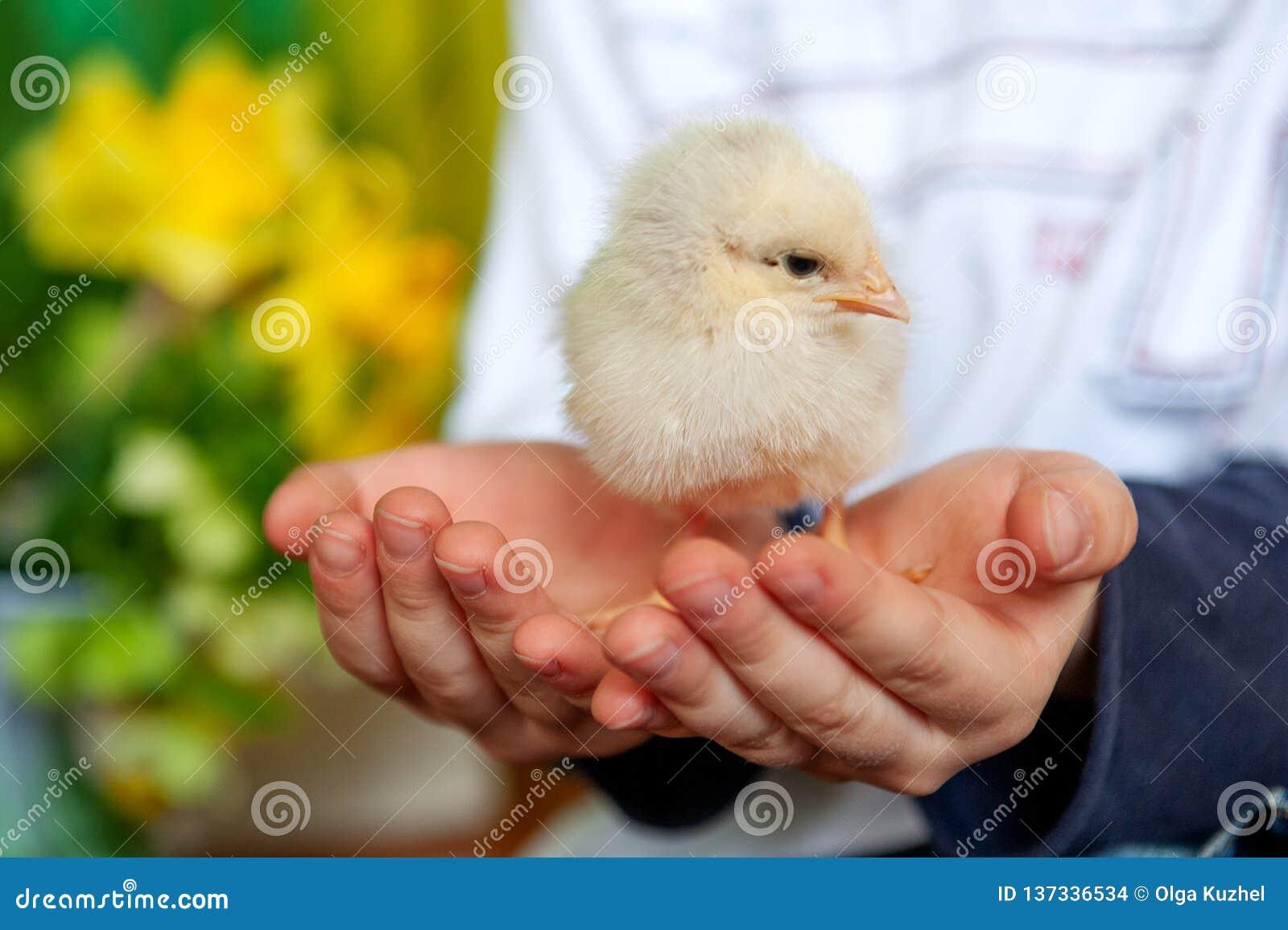 Меньший цыпленок на руках детей, мальчике и птице, лучших другах, концепции пасхи