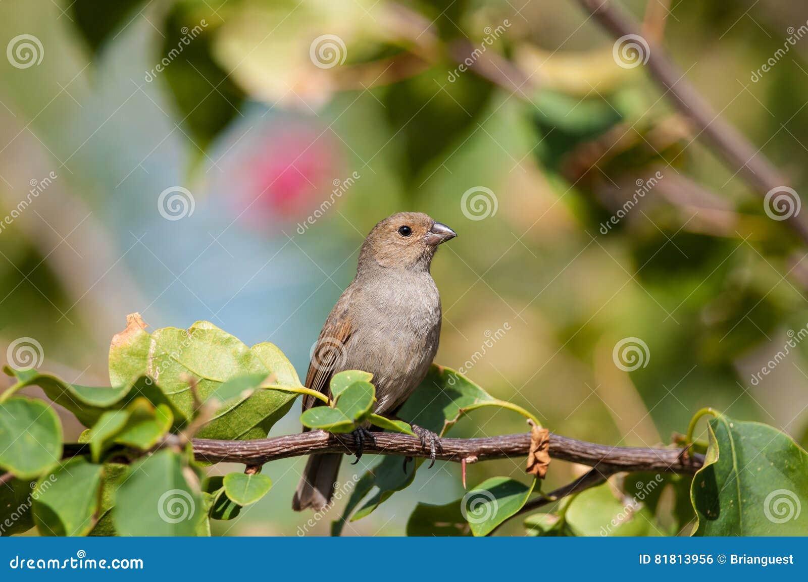 Меньший Antillean bullfinch садясь на насест на ветви