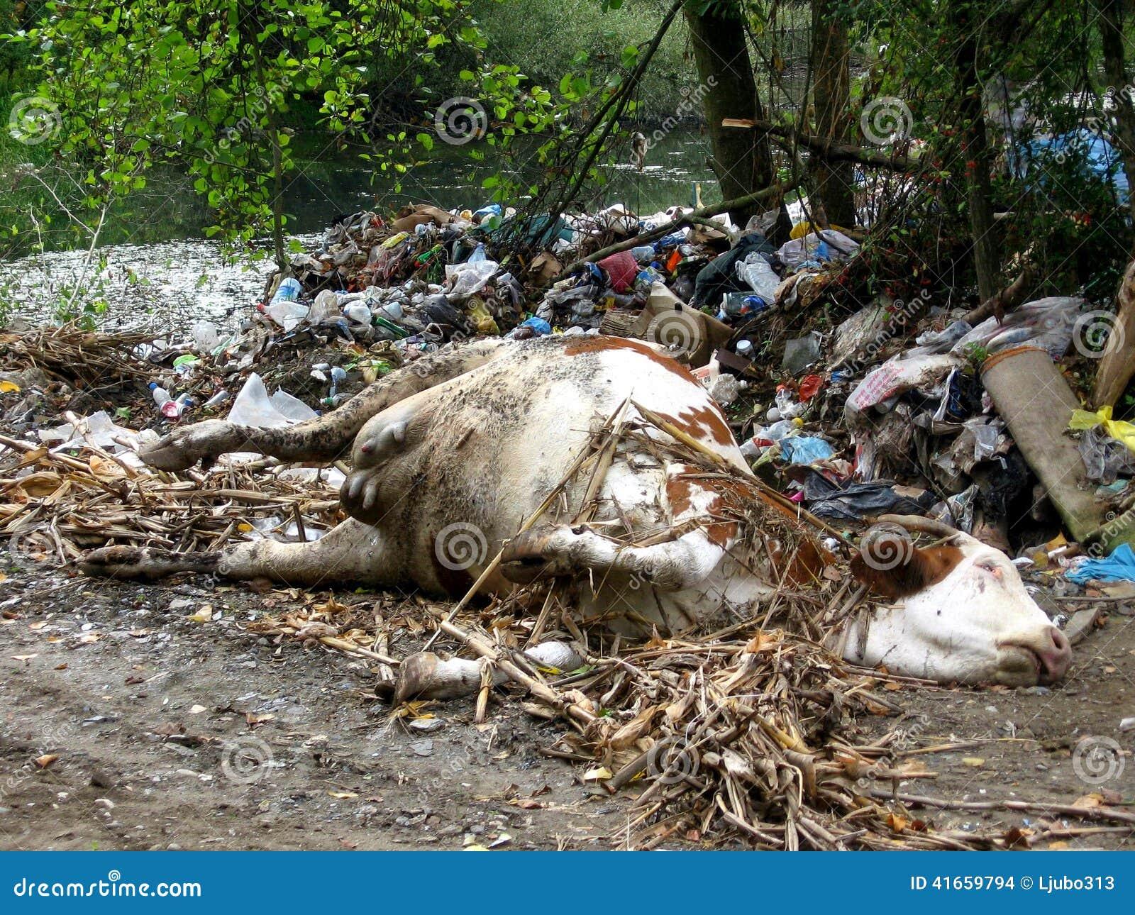Мертвая корова в свалке мусора
