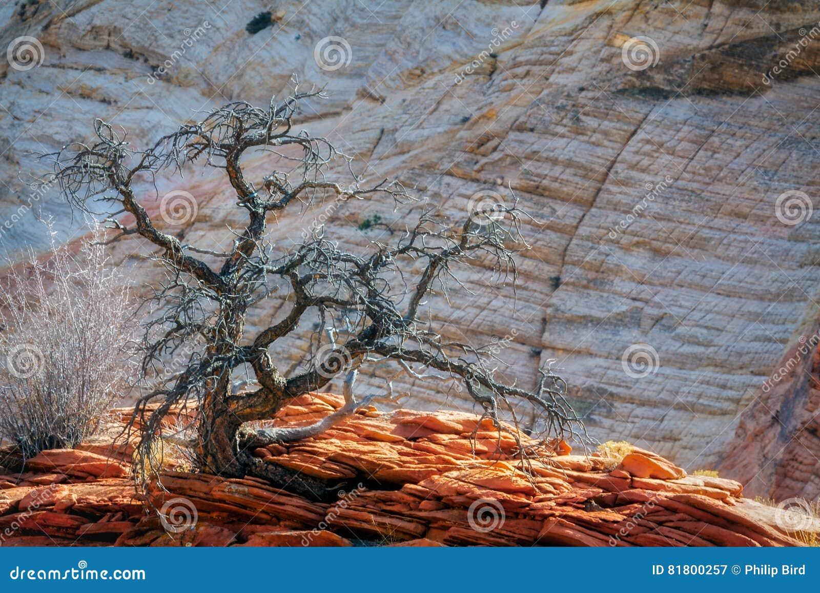 Мертвое дерево на скалистом выходе на поверхность в Сионе