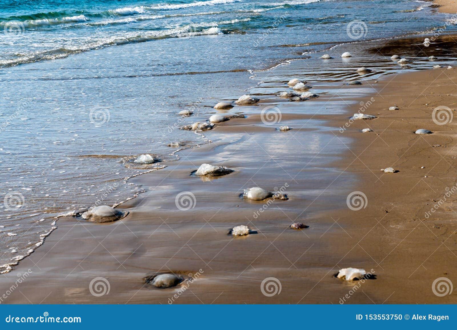 Мертвые медузы помыли вверх на пляже в Nchsholim, Израиле