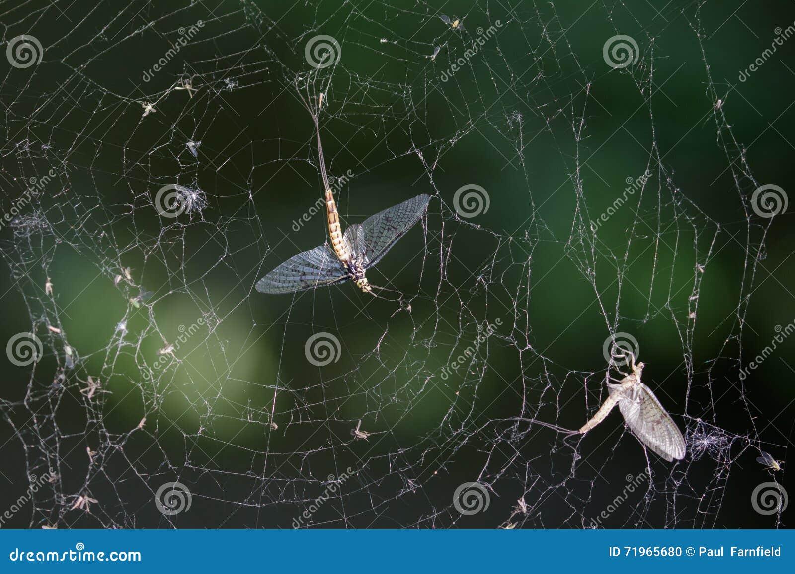 Мертвые подёнки (vulgata Ephemera) в паутине