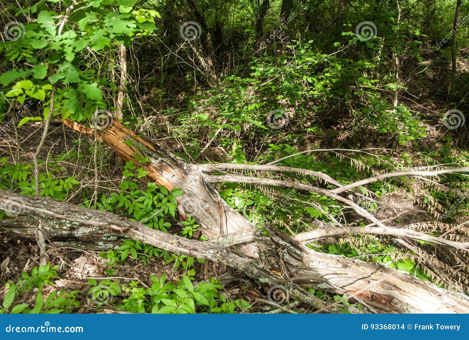 Мертвый лимб, с стручками семени