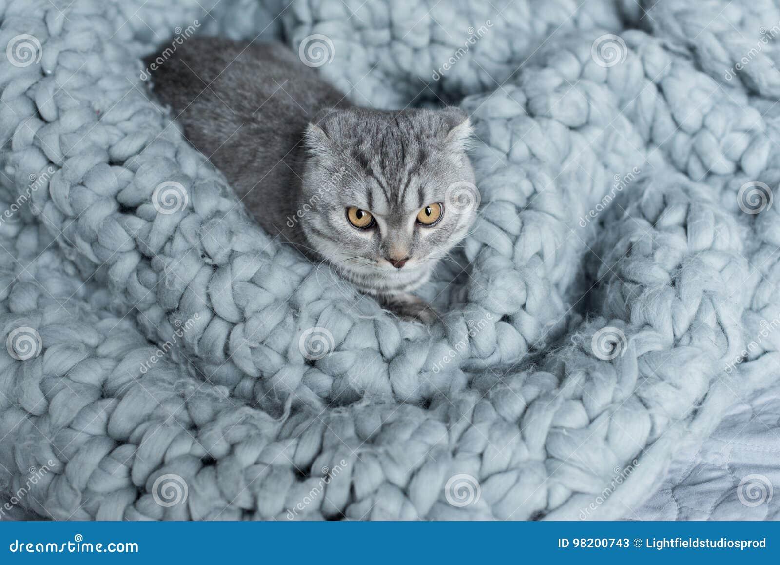 Download Меховой кот створки Scottish лежа на одеяле шерстей в спальне Стоковое Изображение - изображение насчитывающей пушисто, меховой: 98200743