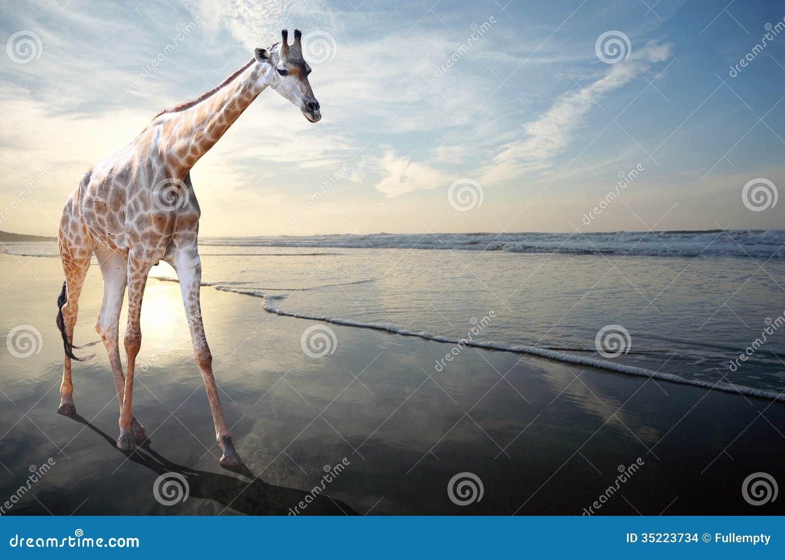 Мечта жирафа идя на песчаный пляж