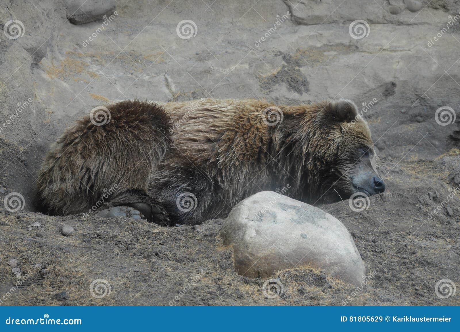 Медведь Grizzley фуражируя для еды
