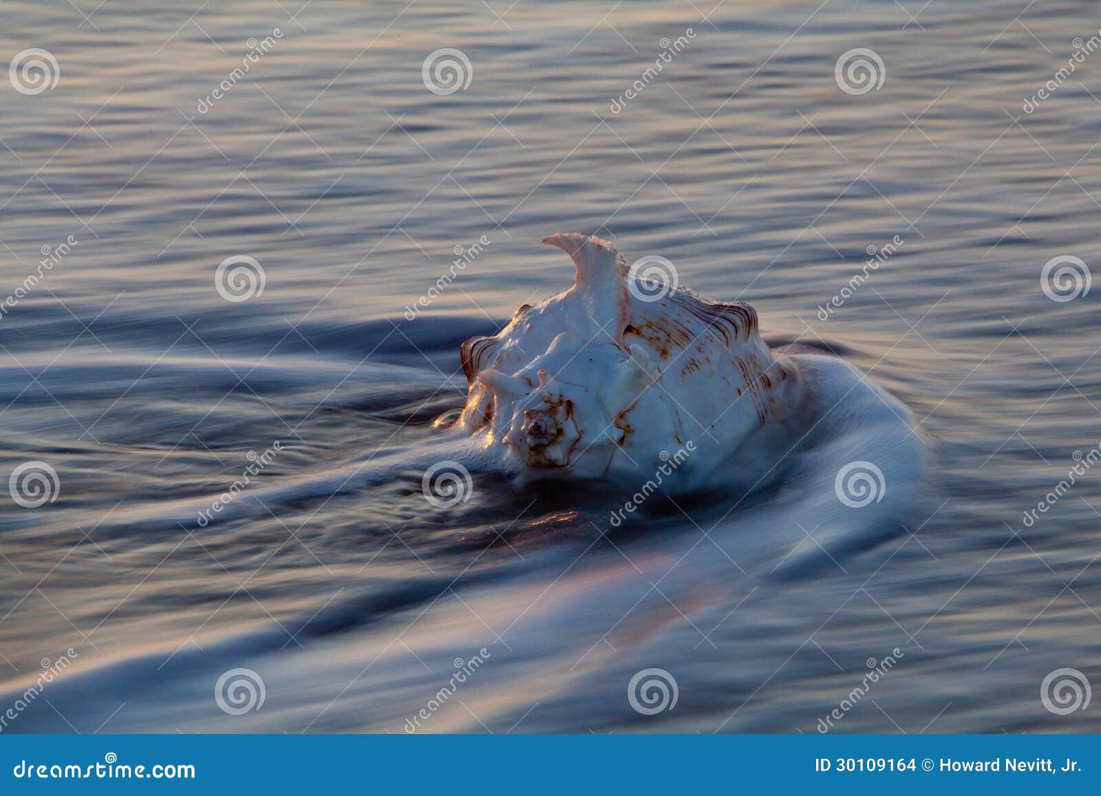 Раковина раковины в волне океана