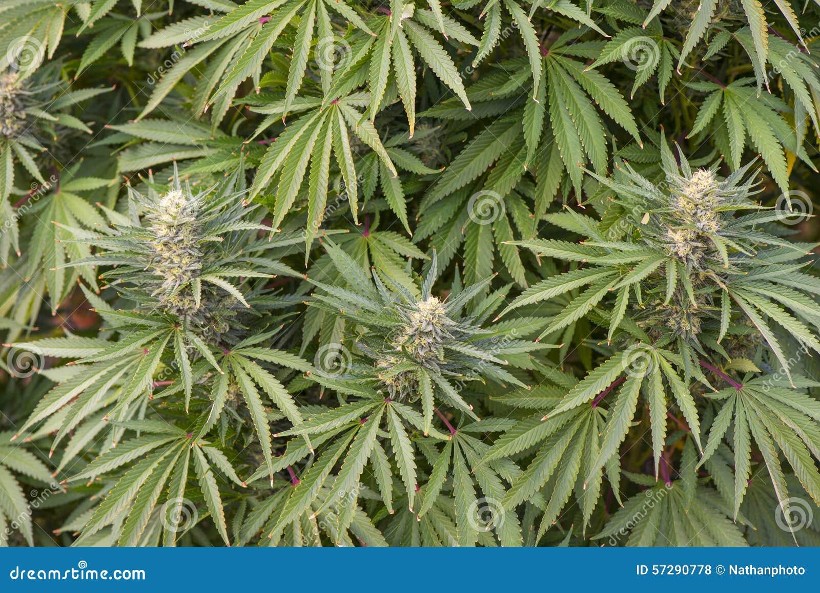 Фото урожай марихуаны коробка для хранения марихуаны