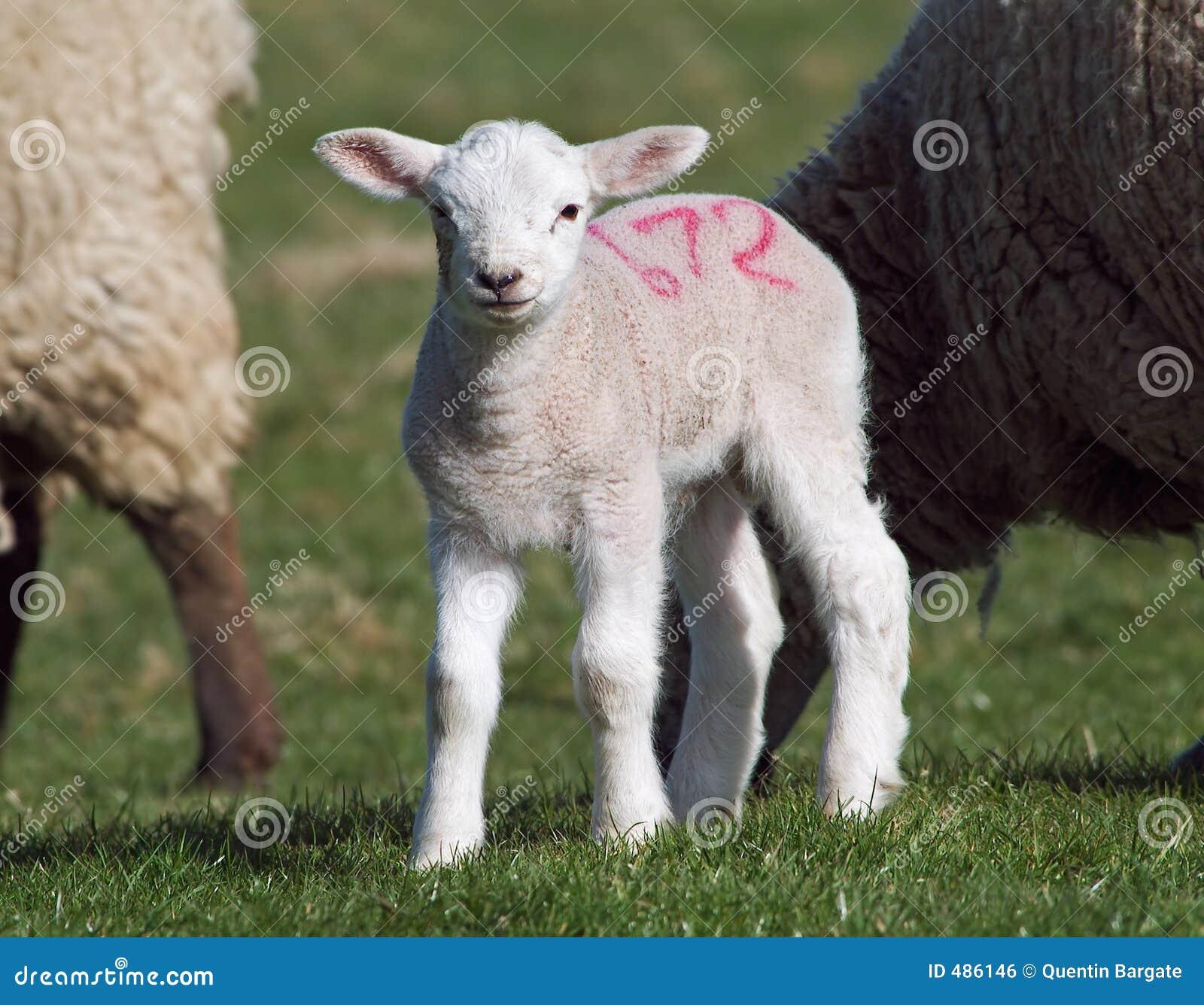 милая весна овечки