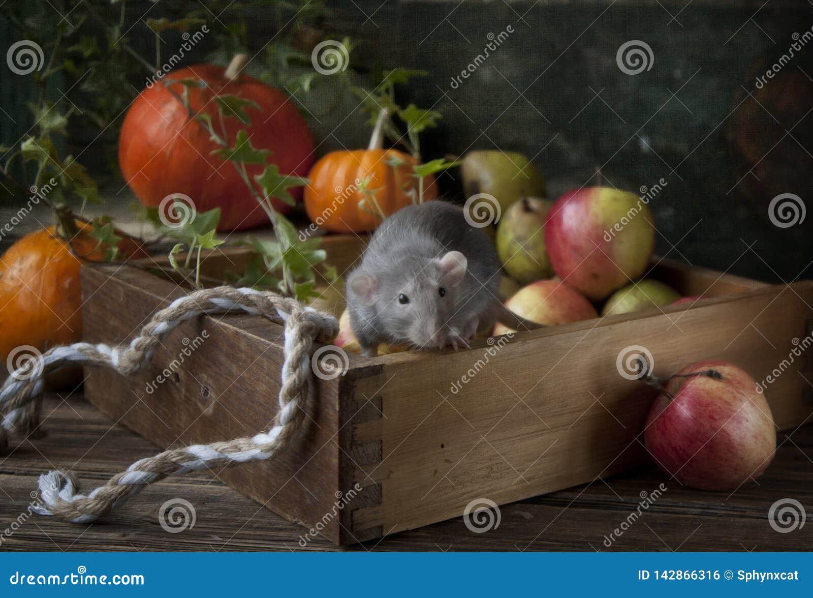 Милая маленькая серая крыса dumbo сидит в деревянной коробке со свежими яблоками и тыквами Состав натюрморта в винтажном стиле ки