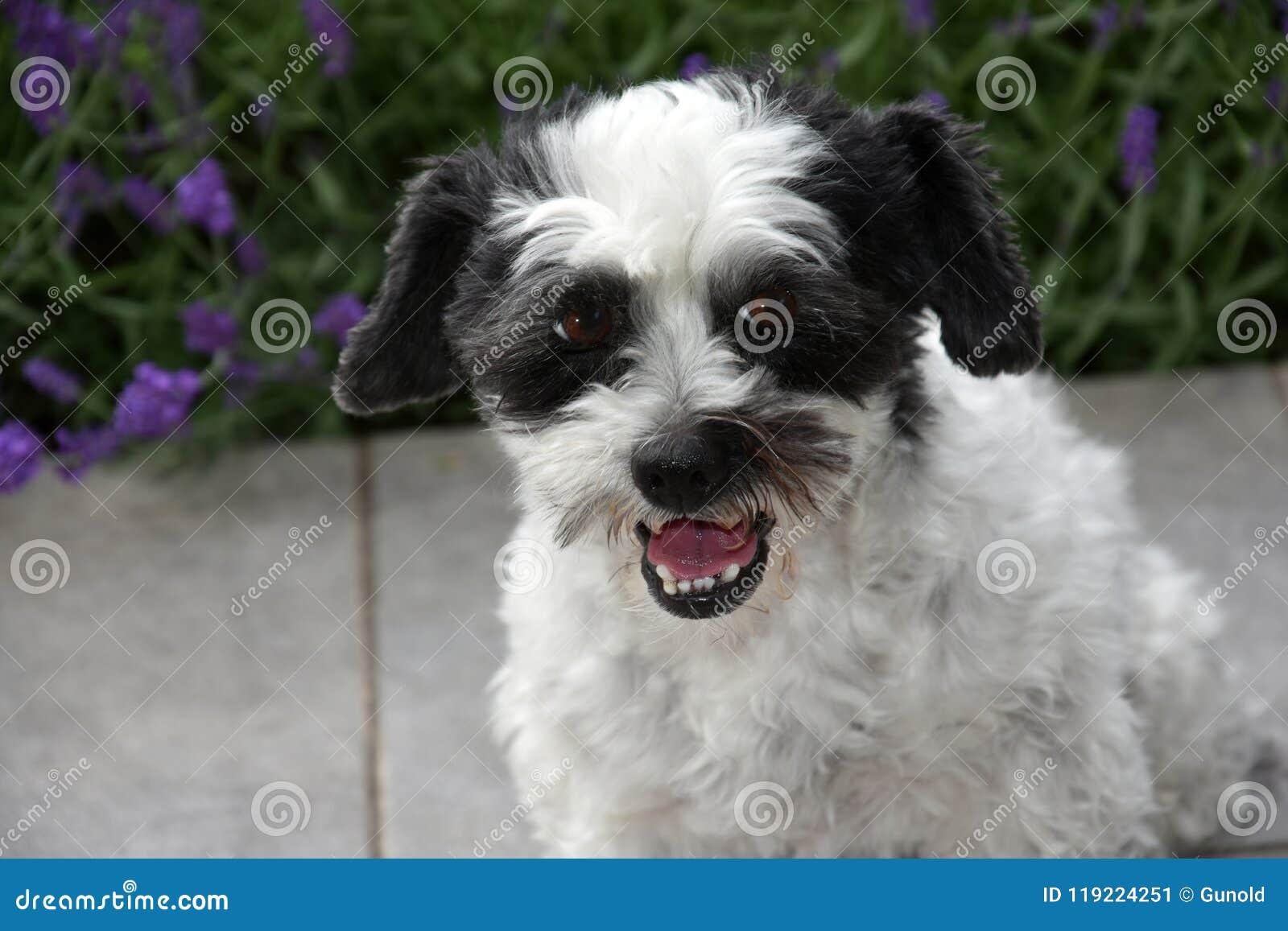 Милая маленькая moggy собака наблюдающ что-то и расшивами