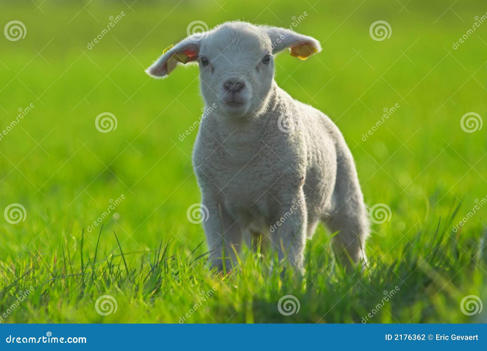милая овечка зеленого цвета травы