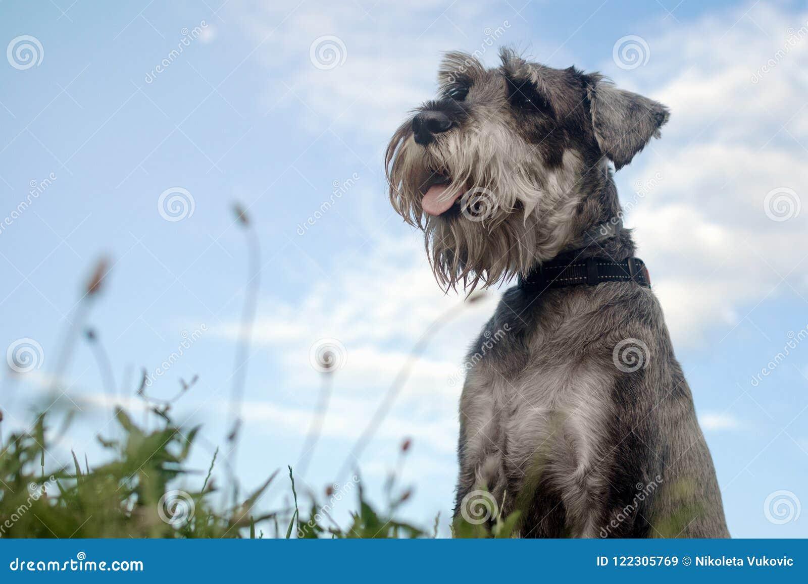 серая собака
