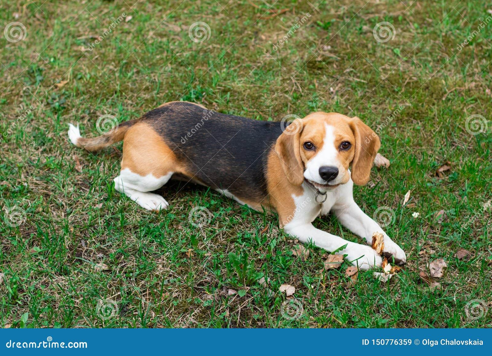 Милая собака лежа на зеленой траве, собака бигля бигля портрета милая