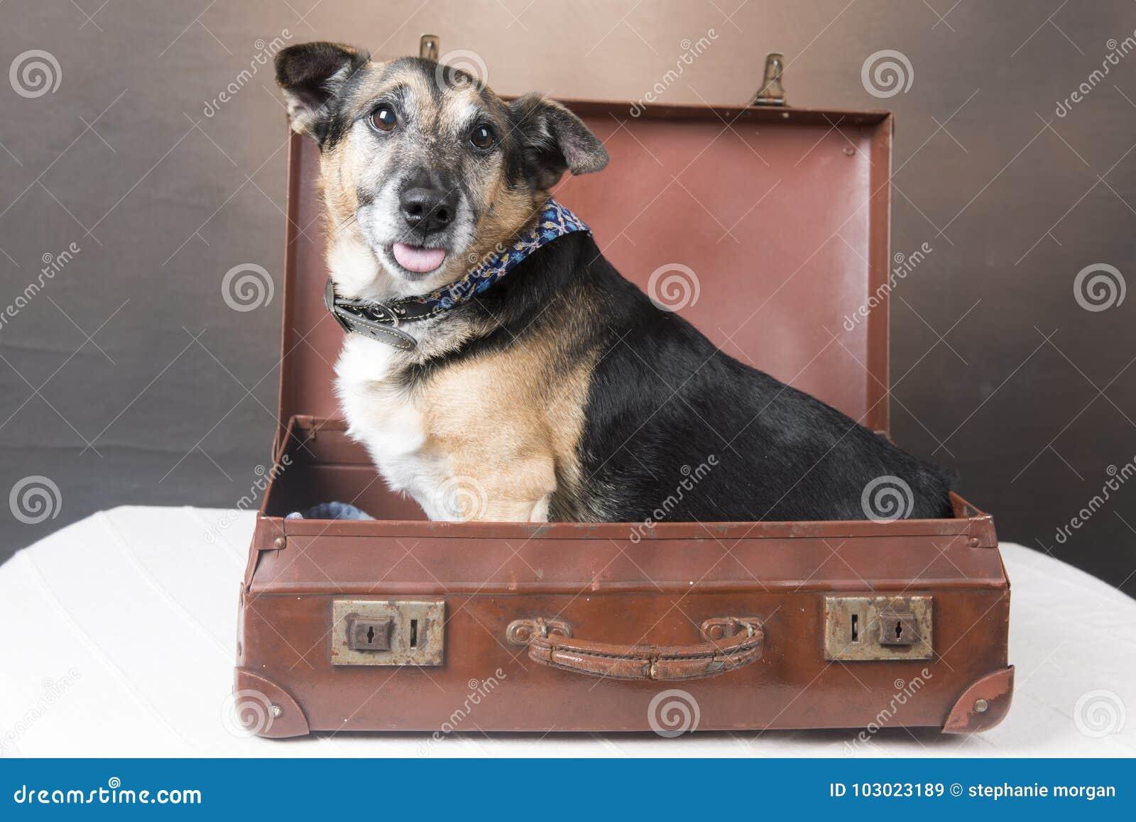 Милая собака Corgi сидя внутри чемодана с его языком вне