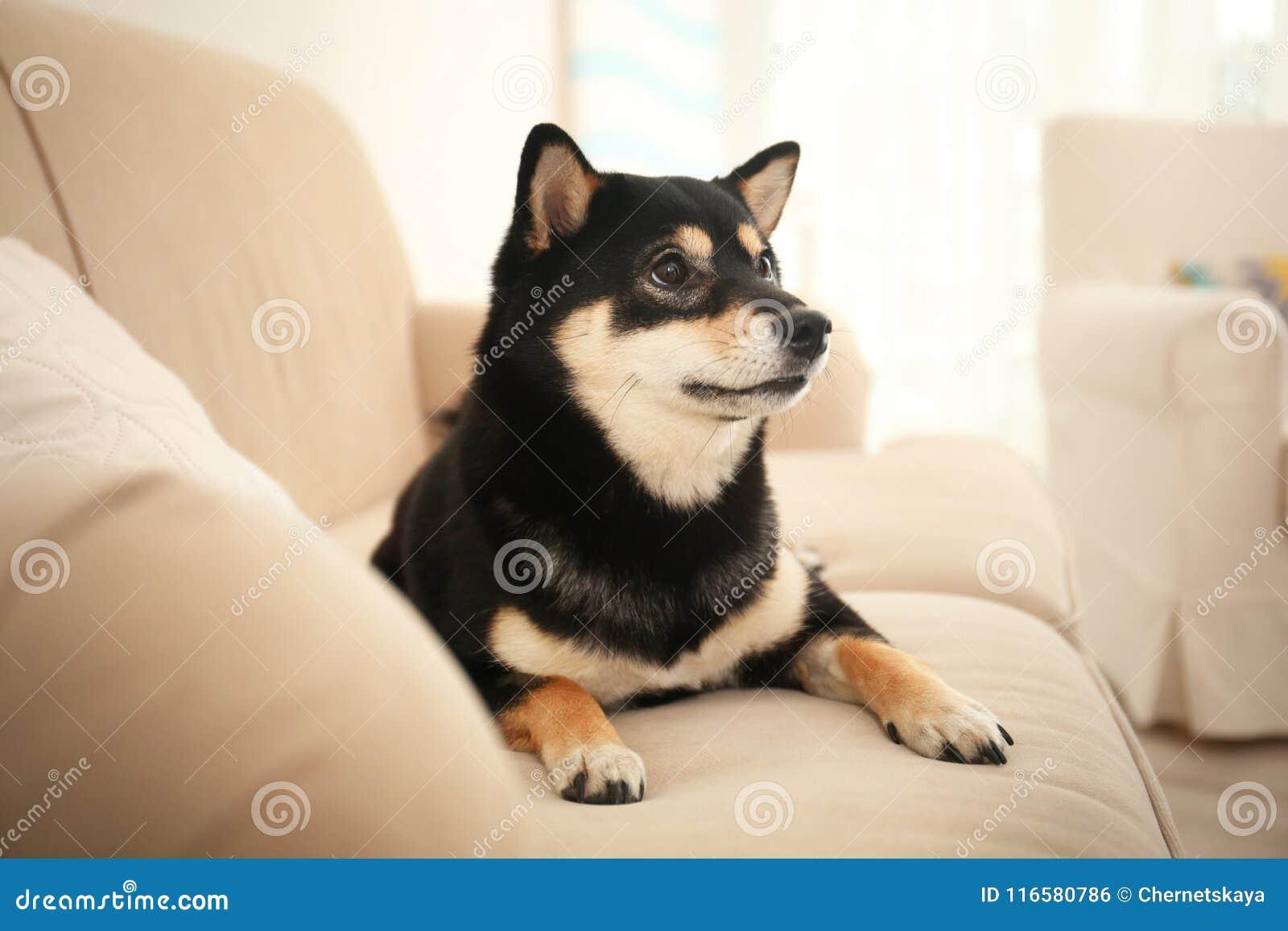 Милая собака inu Shiba на софе