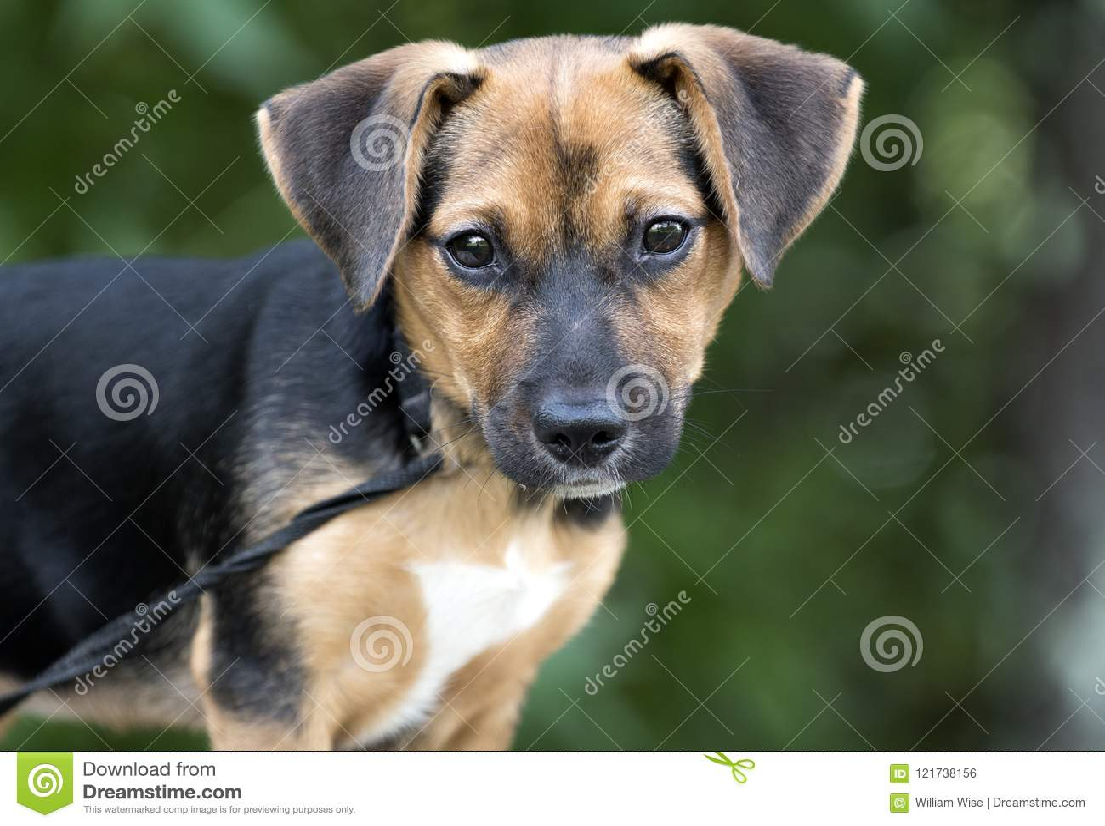 Милое фото принятия любимчика собаки щенка смешивания бигля
