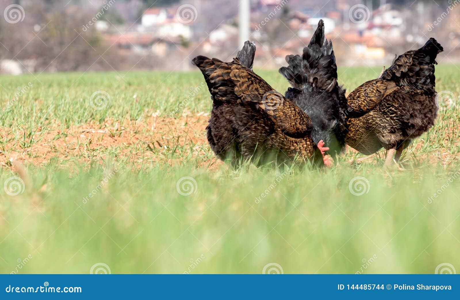 Милые задние части цыпленка