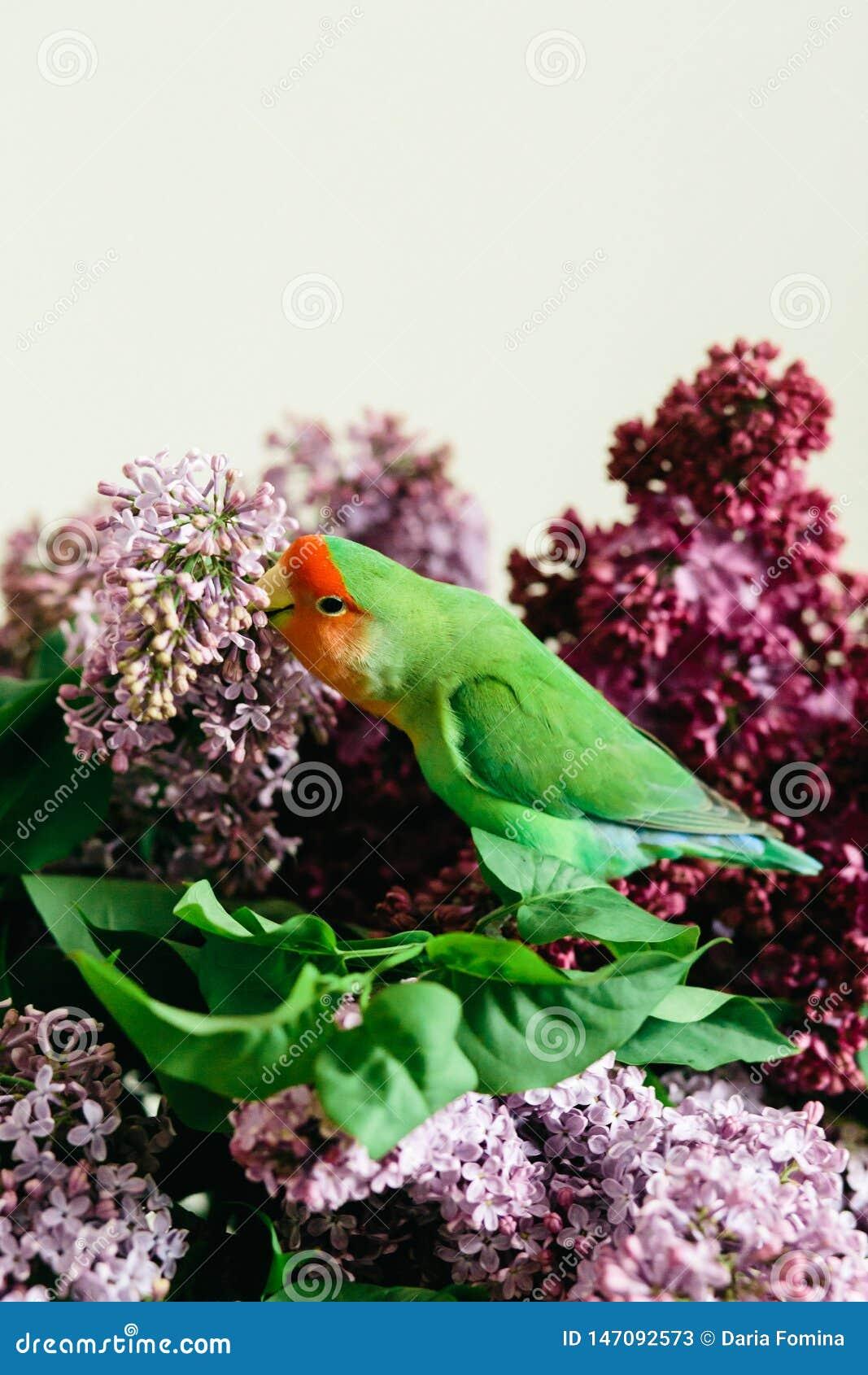 Милые неразлучники попугая сидя на букете сирени