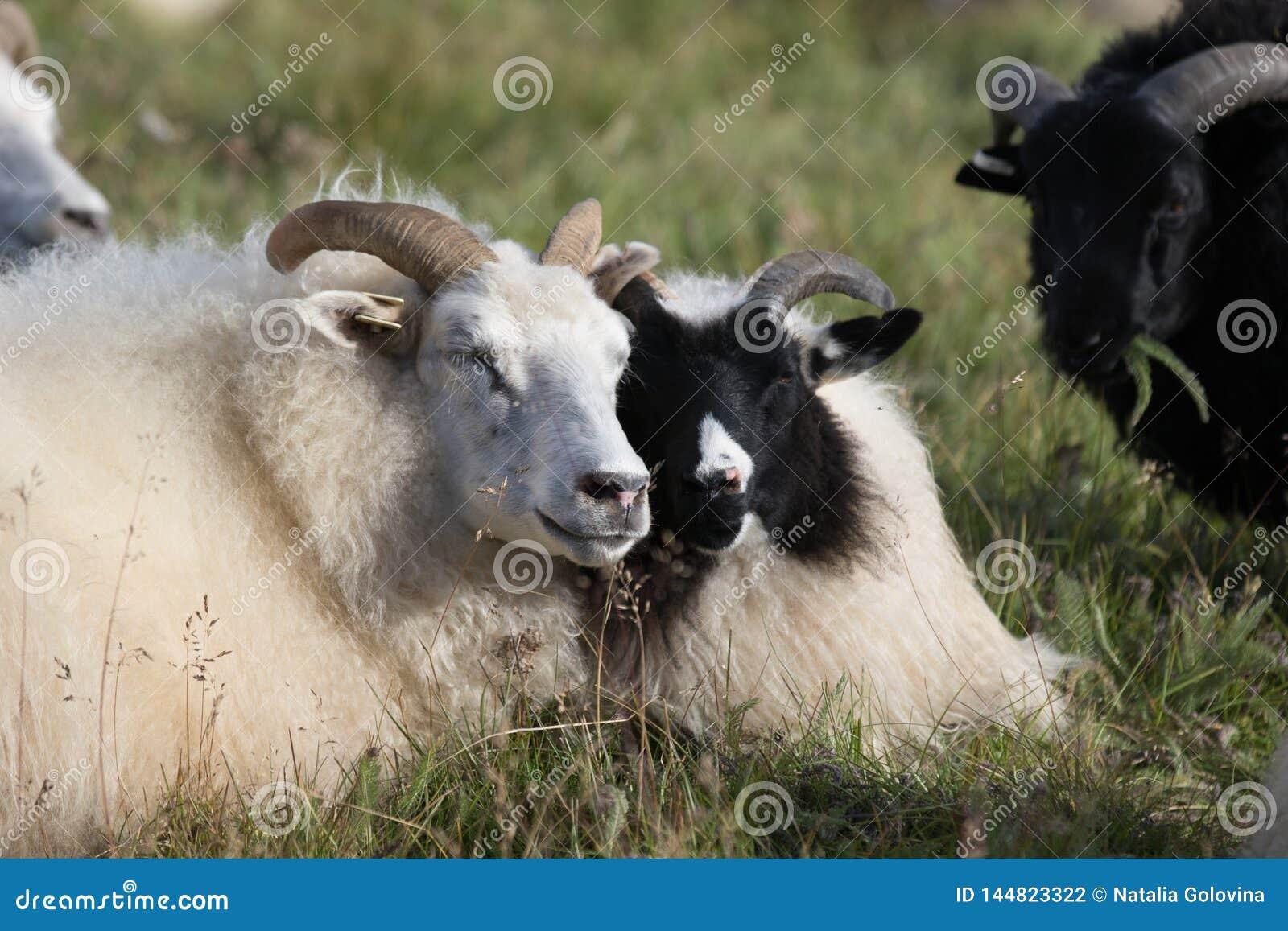 Милые пары больших белых и черных овец штосселя лежа в поле и наслаждаясь солнечным днем