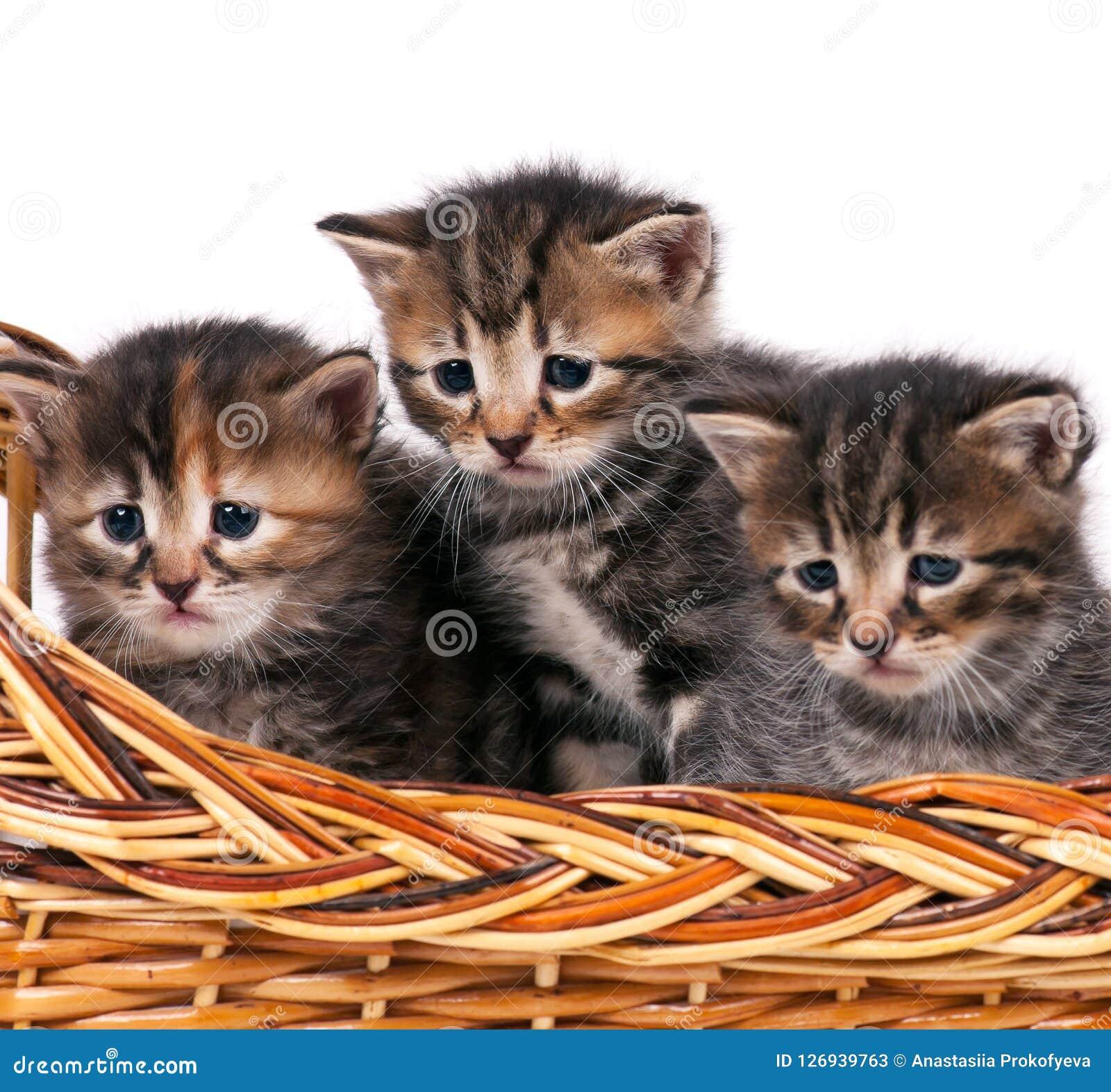 Милые сибирские котята