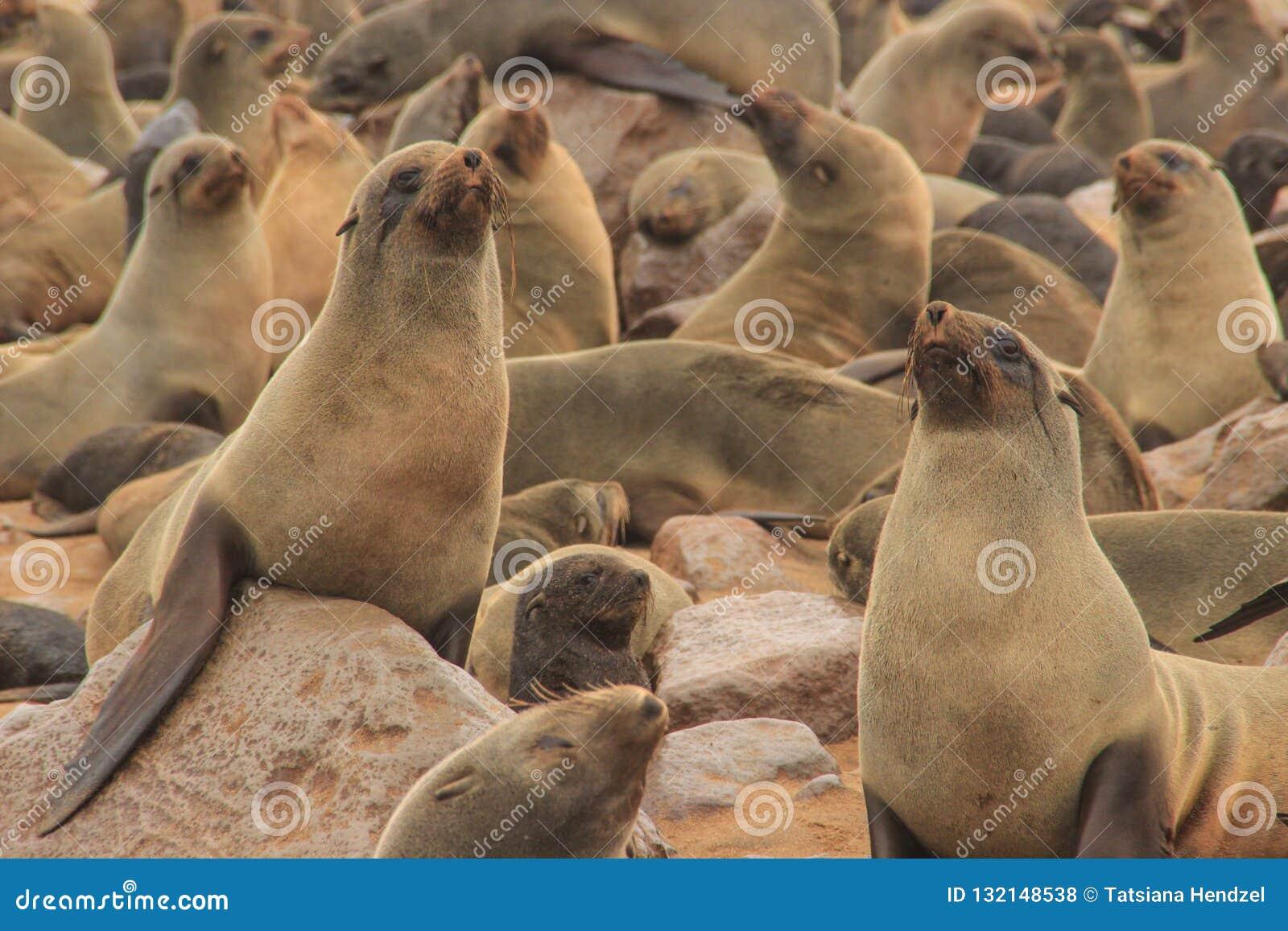 Милые уплотнения дурят на берегах Атлантического океана в Намибии