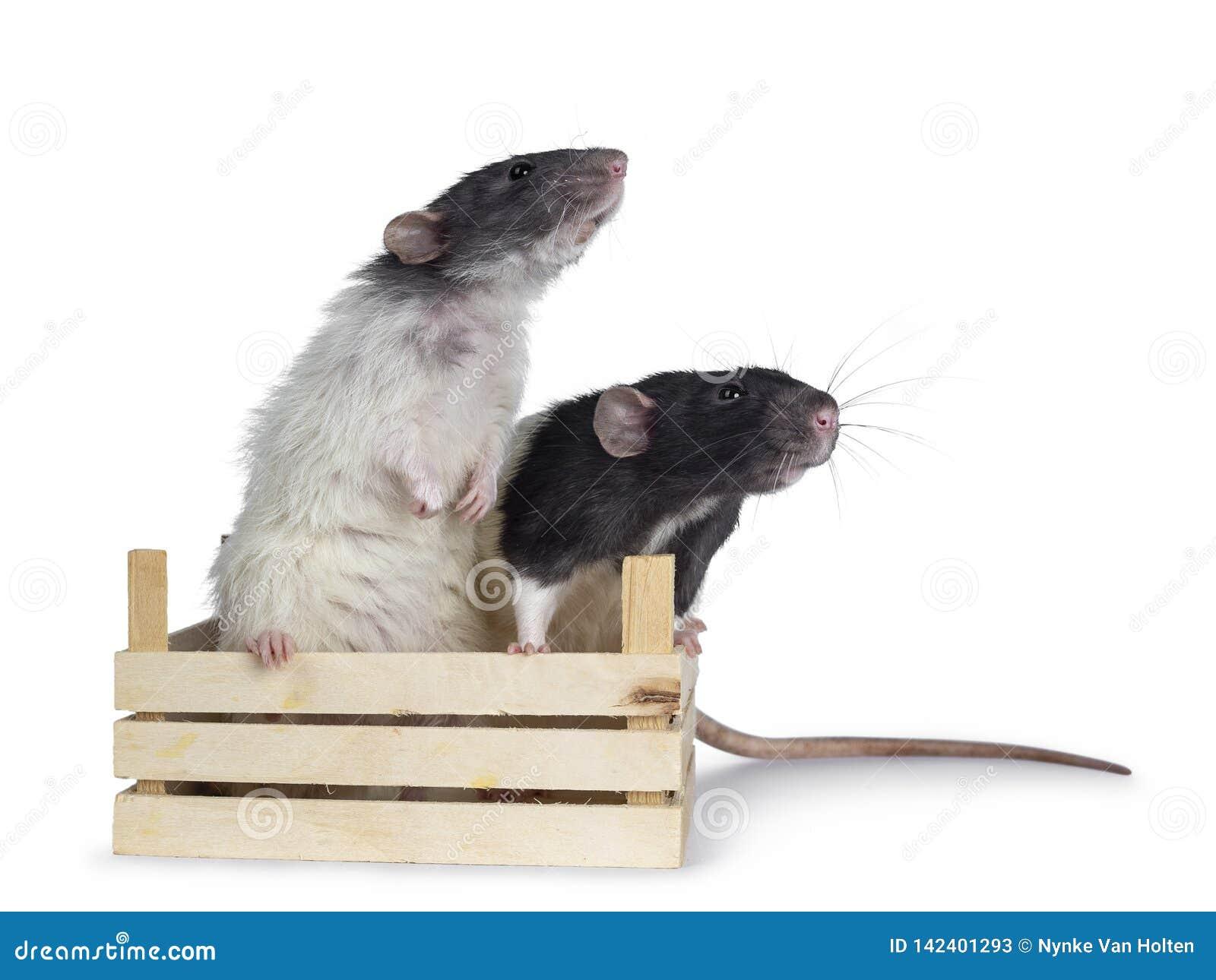 Милые черно-белые крысы dumbo на белой предпосылке