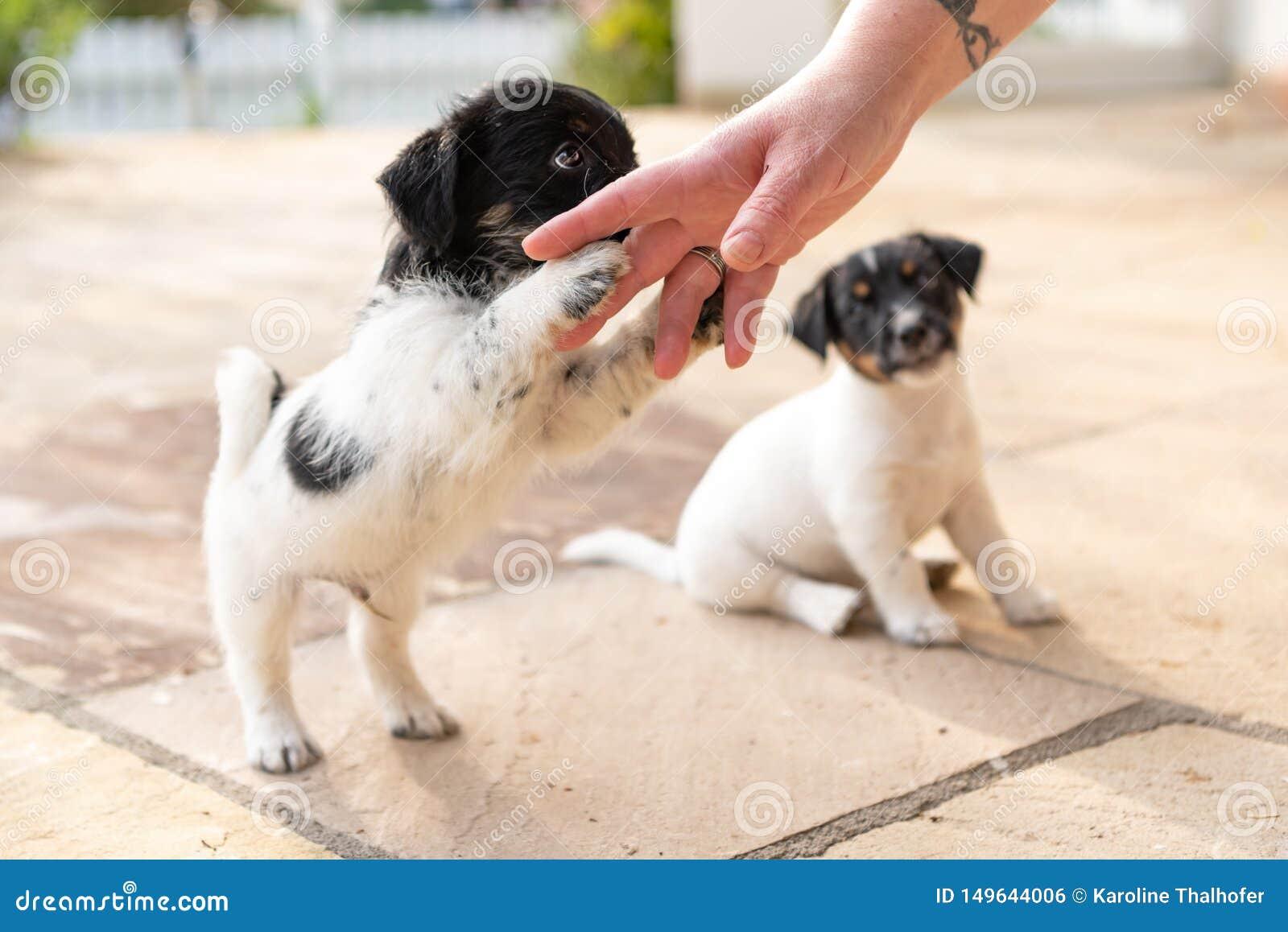 Милые tricolor щенята терьера Джек Рассела играя с ее владельцем 7,5 doggies недель старых молодых