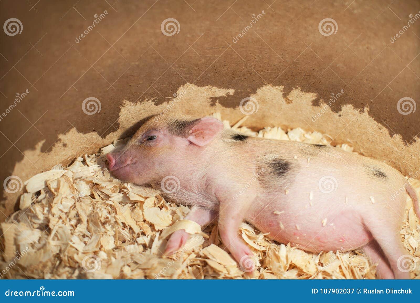 Милый и свинья спать маленькая внутри