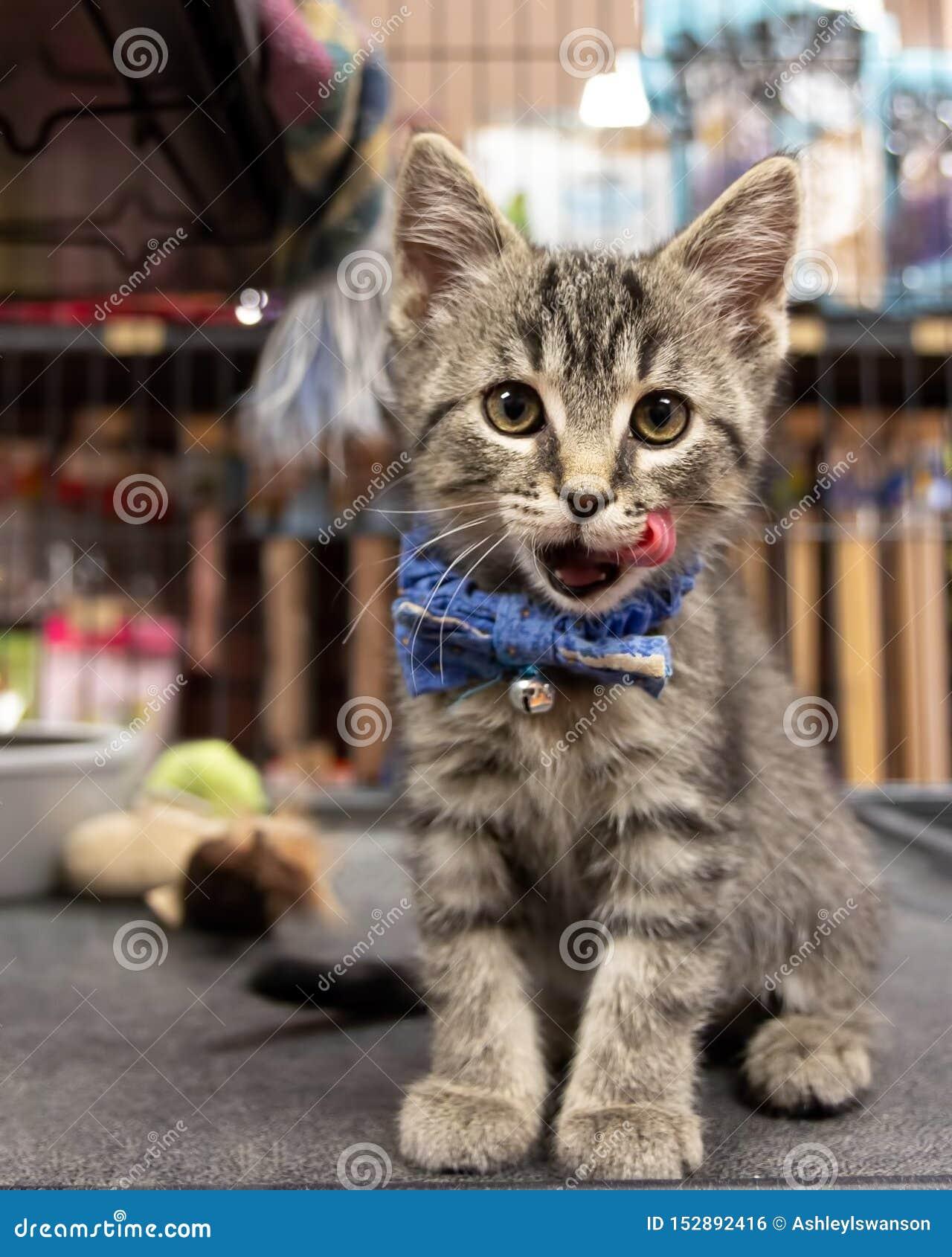 Милый котенок нося бабочку и ждать принятие на любимце
