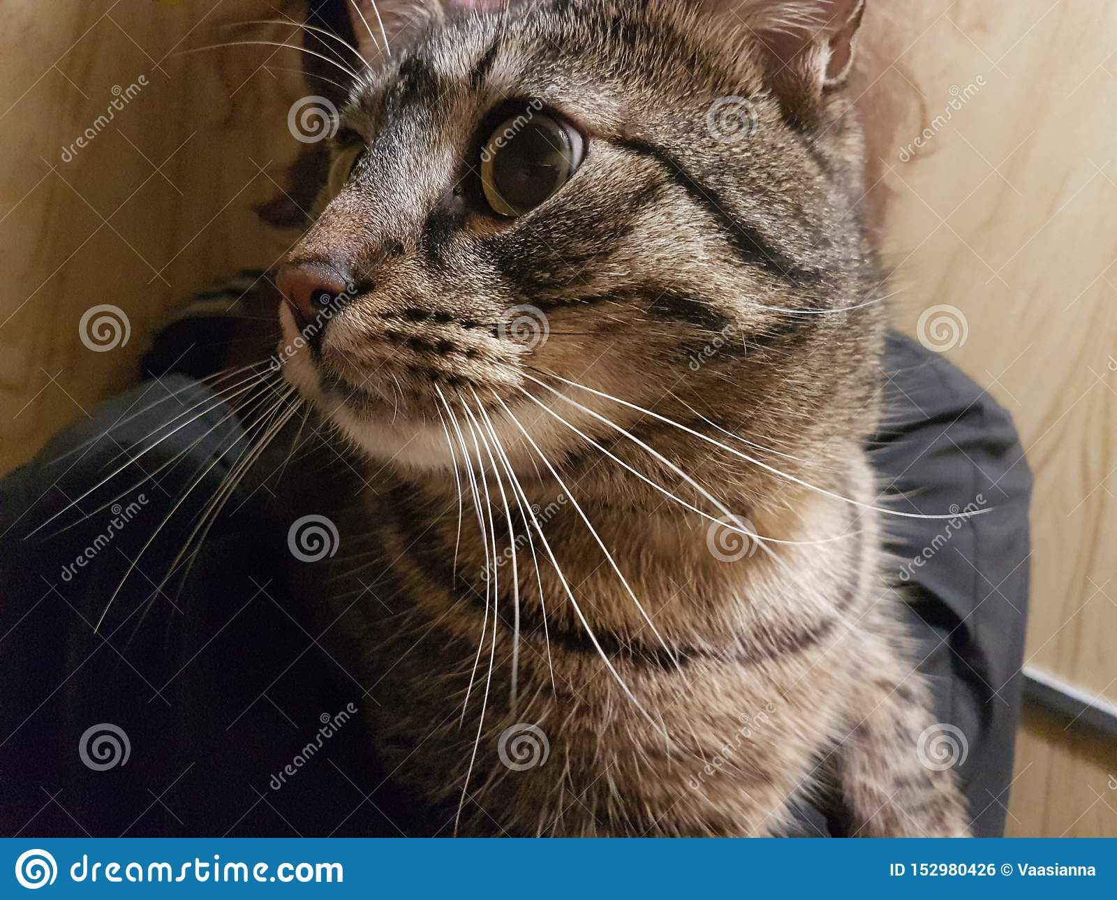 Милый красивый намордник серый и белый меховой зеленый наблюданный конец-вверх кота смотря к левой стороне