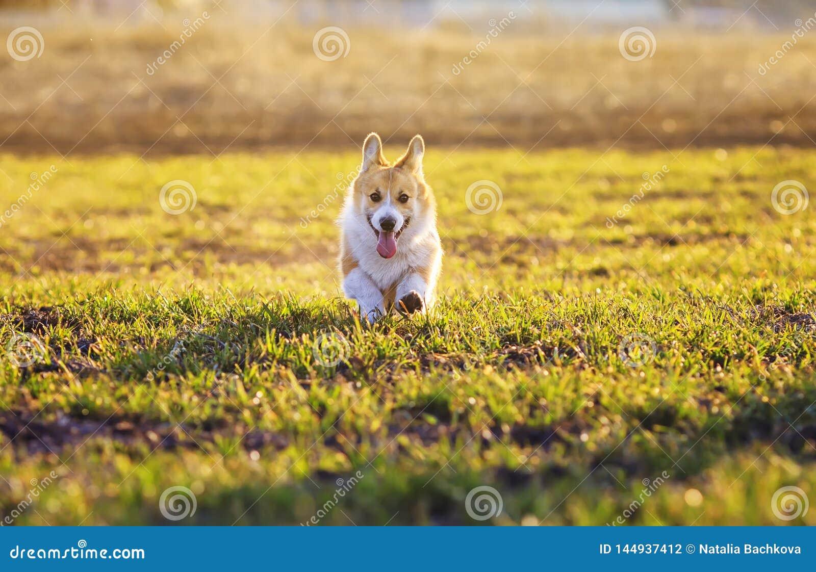 Милый красный Corgi щенка собаки бежит весело на зеленом парке травы вес
