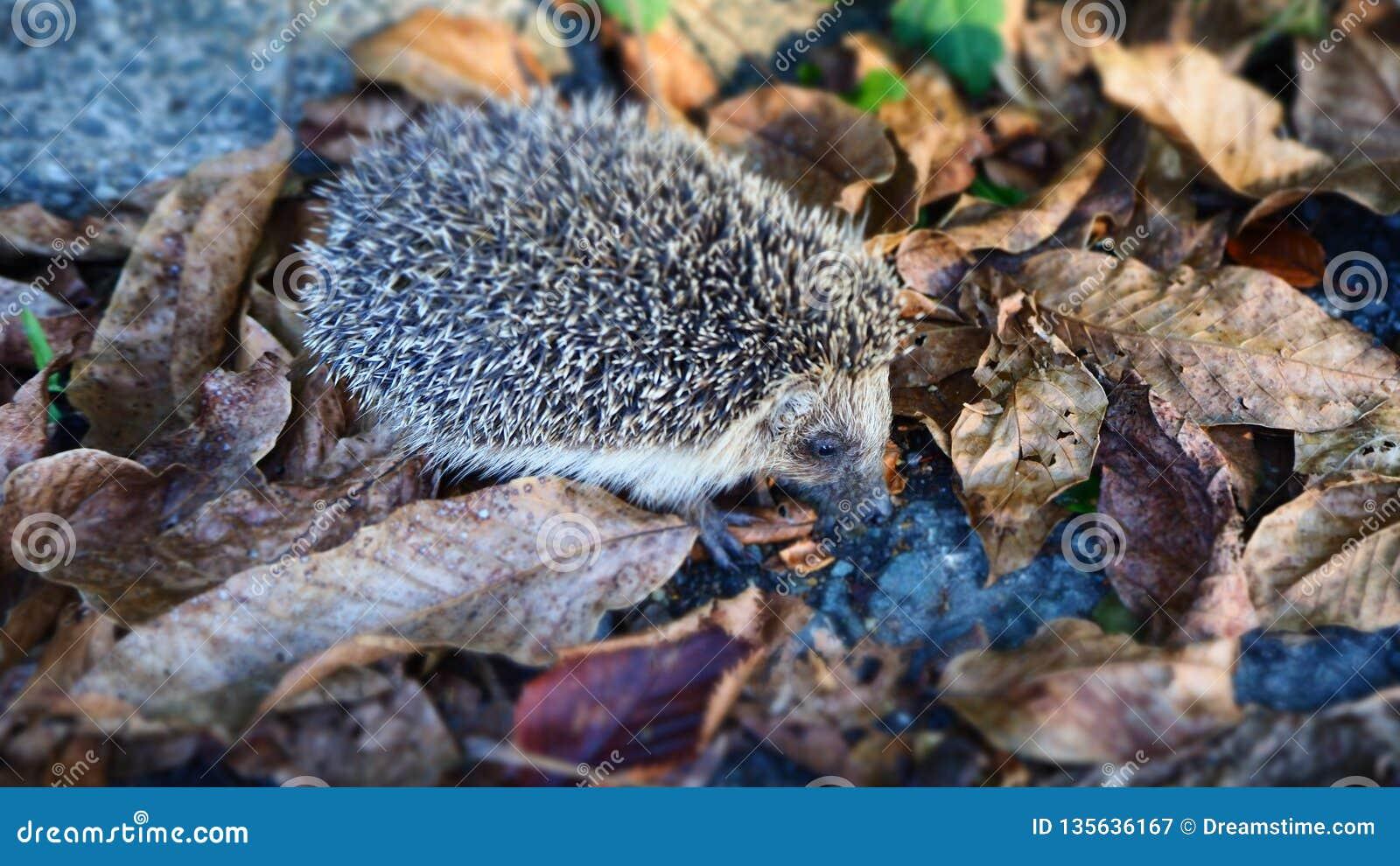 Милый маленький еж ища еды в листьях осени