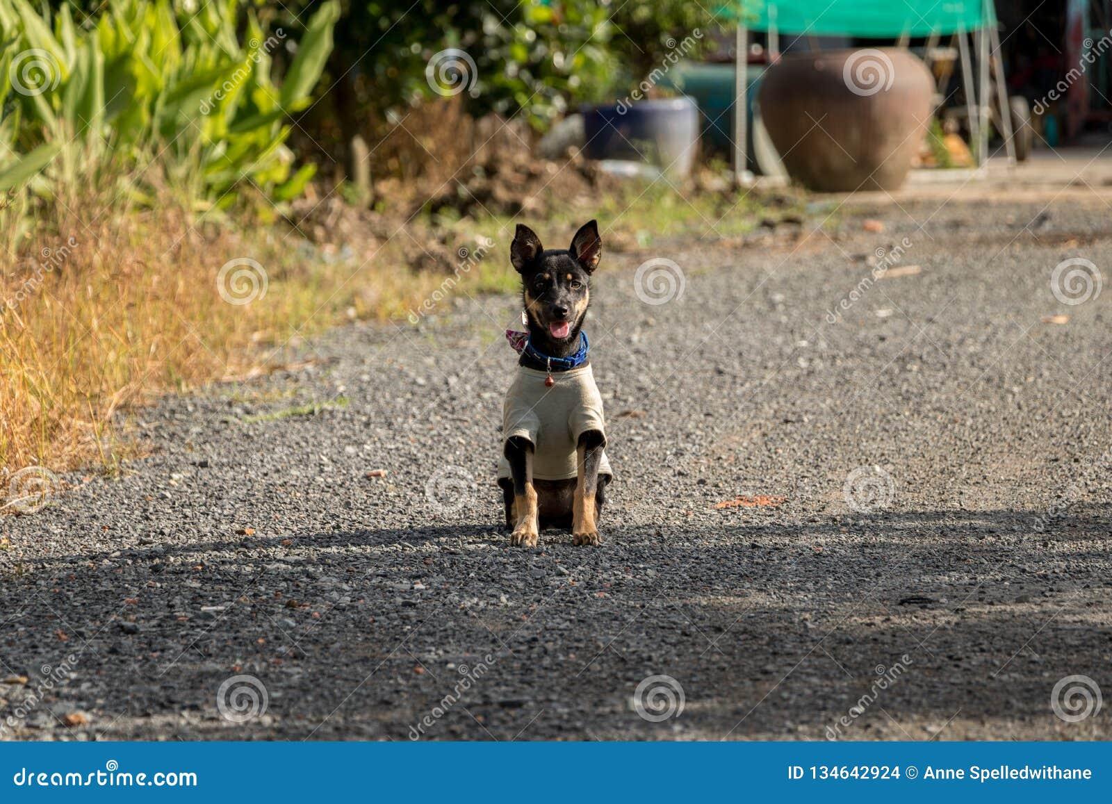 Милый маленький черный щенок сидя в одеждах крошечной собаки Солнца нося - азиатский сад в ярком солнечном дне