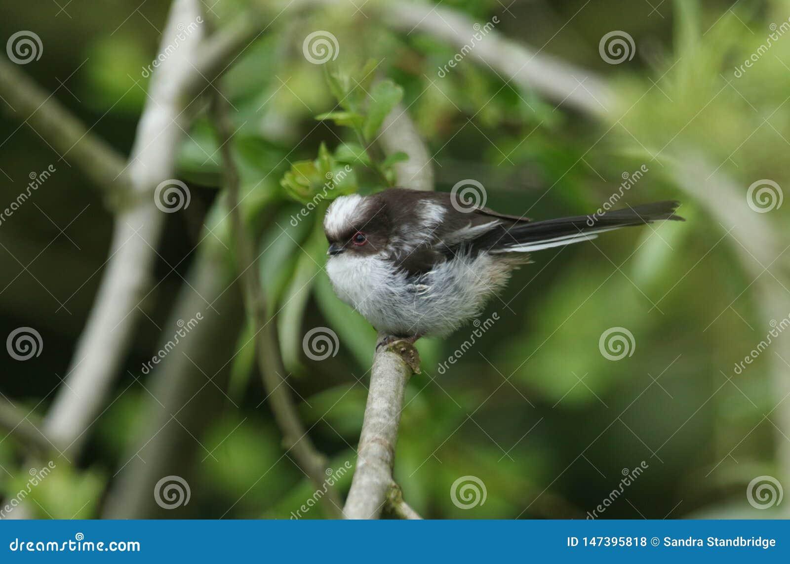 Милый младенец Длинн-замкнул синицу, caudatus Aegithalos, садить на насест в дереве Оно ждет своих родителей для того чтобы прийт