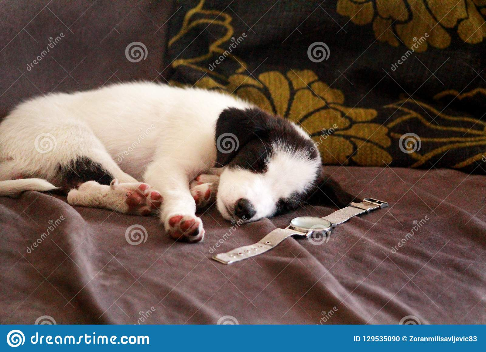 Милый щенок малой черной породы смешанной белизной спит в кровати дома, близко вверх Прелестные щенята и половинная собака породы