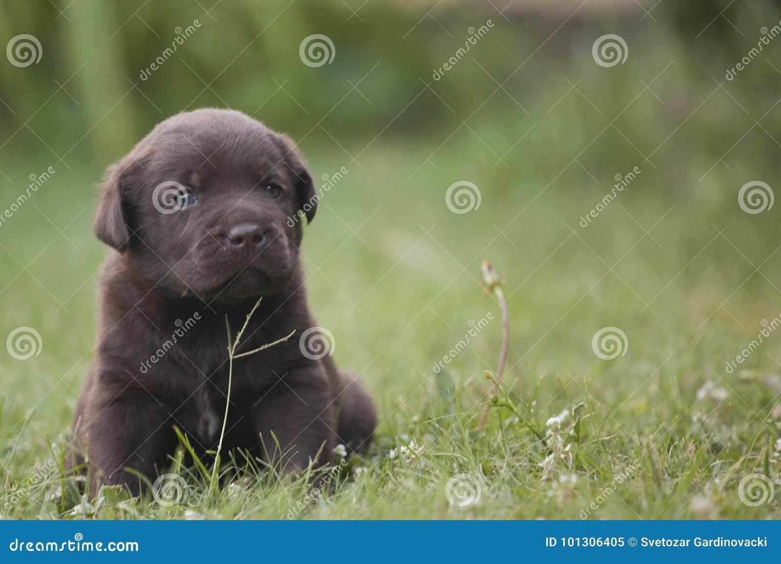 Милый щенок labrador