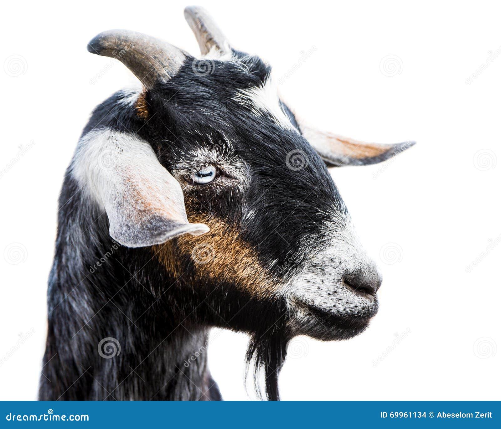 Миниатюрная коза Nubian III