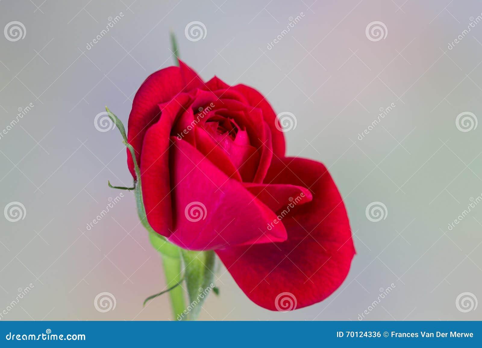 Миниатюрная красная роза