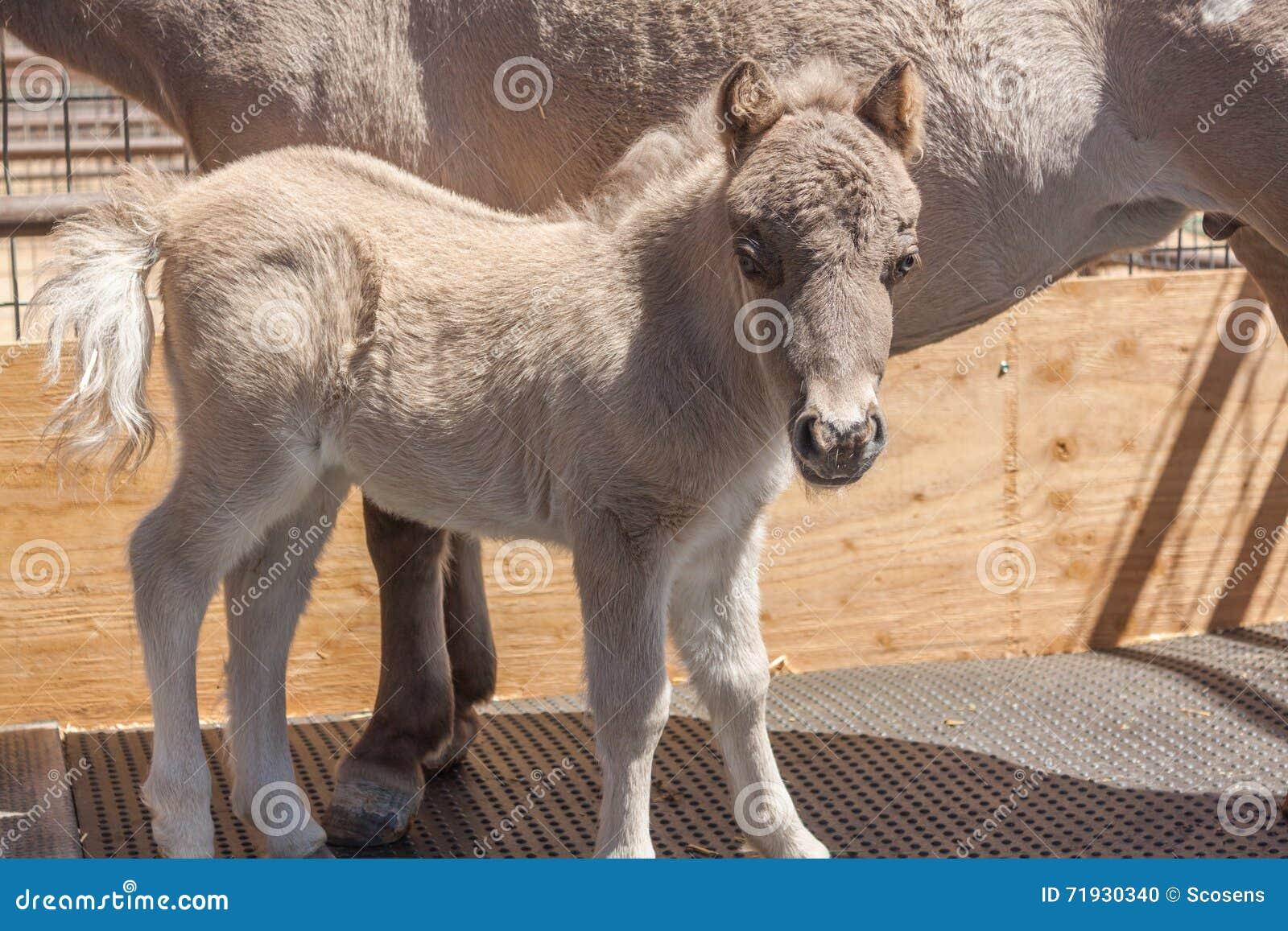 Миниатюрный осленок лошади