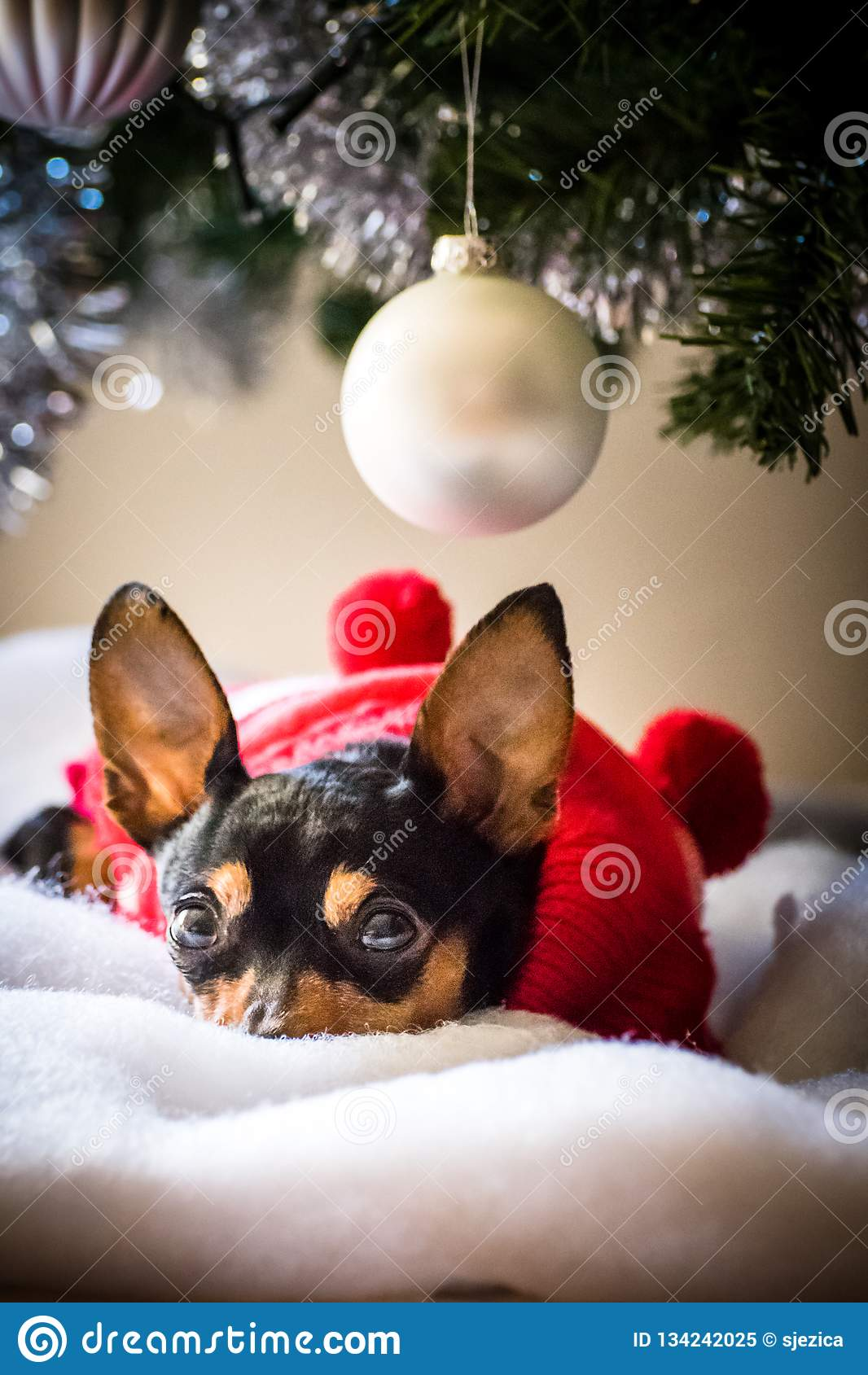 Миниатюрный pinscher под рождественской елкой