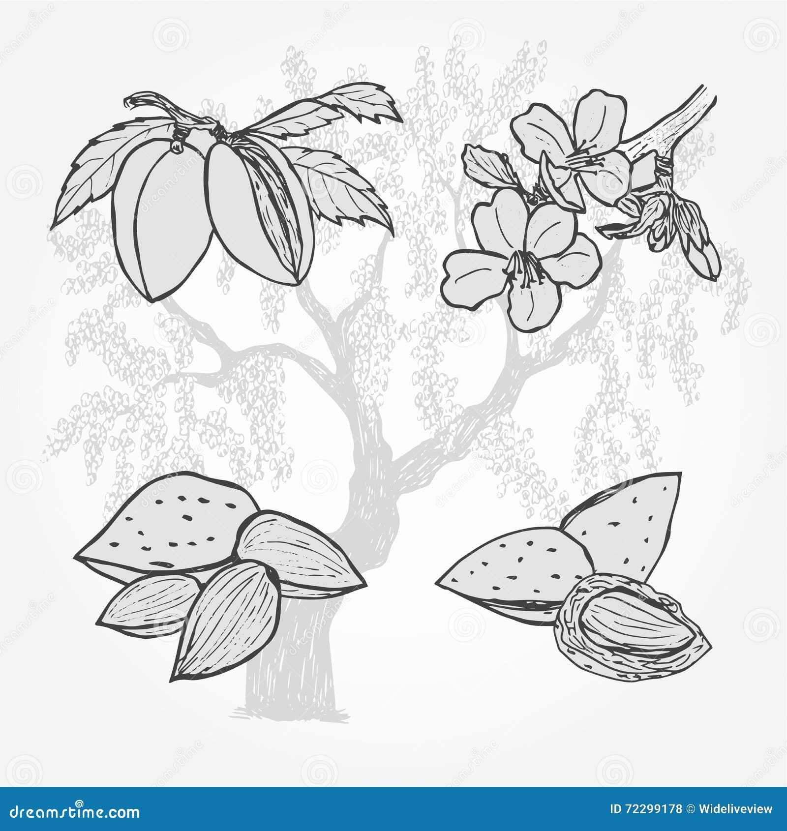 Download Миндалина, дерево и гайки, эскиз вектора Иллюстрация вектора - иллюстрации насчитывающей природа, диетпитание: 72299178