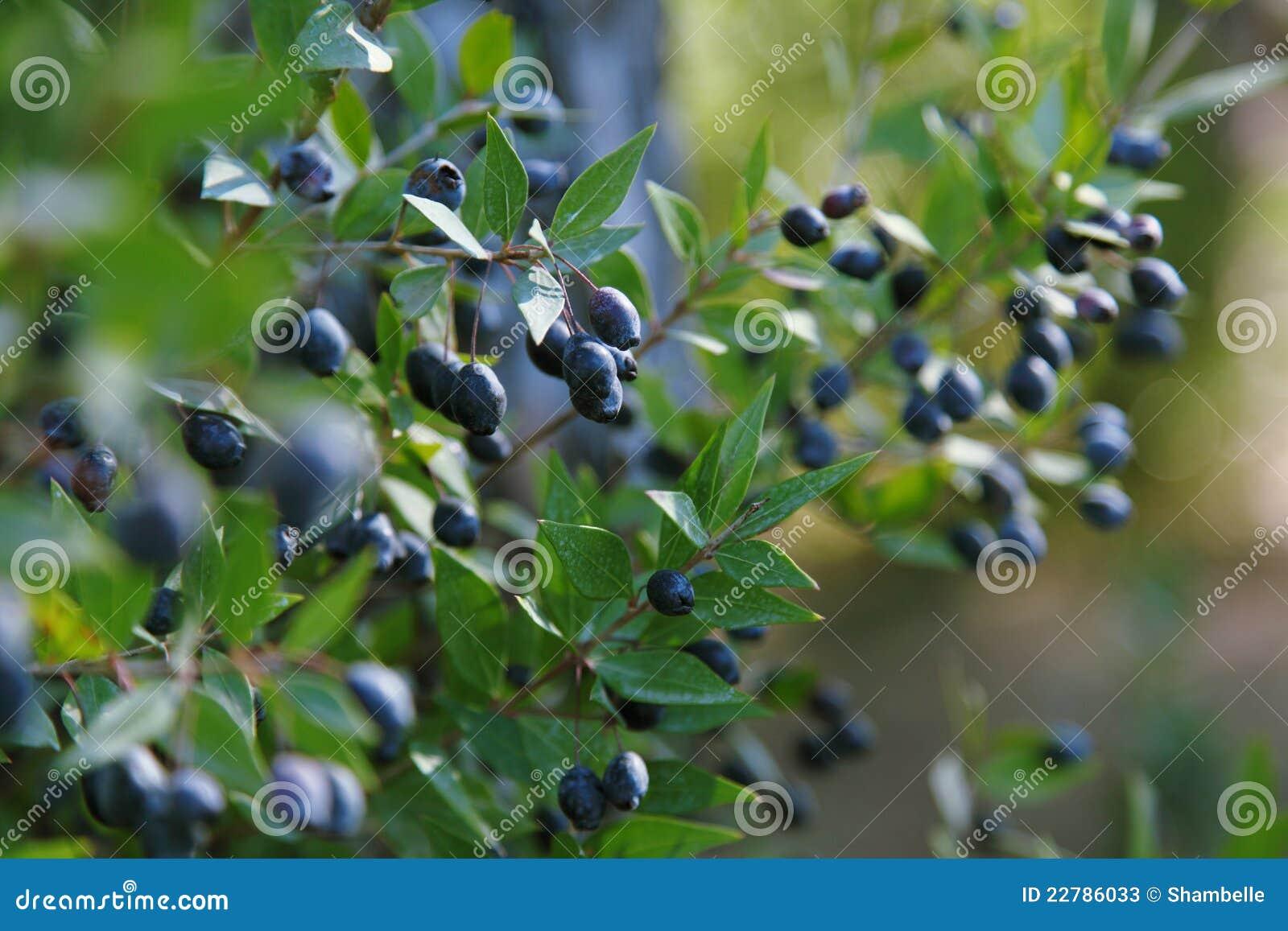 мирт ветвей сини ягод зрелый