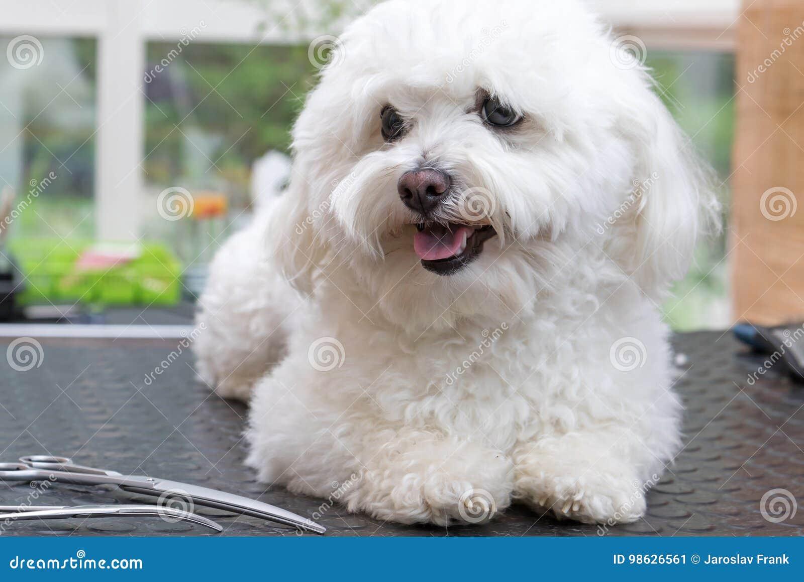 Милая белая собака с ножницами